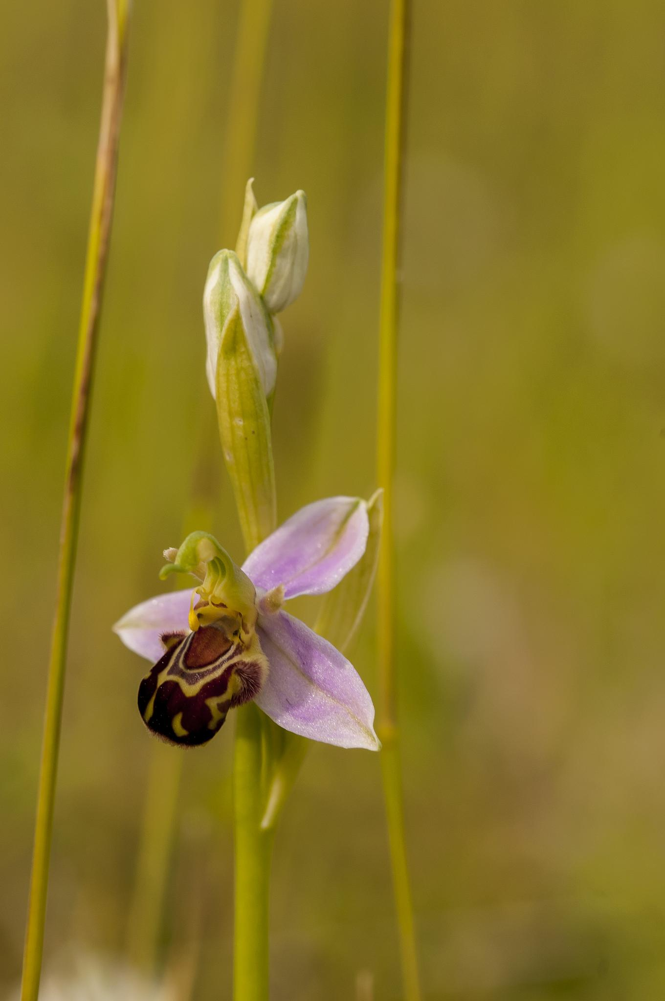 Bee Orchid by Pete Feeny