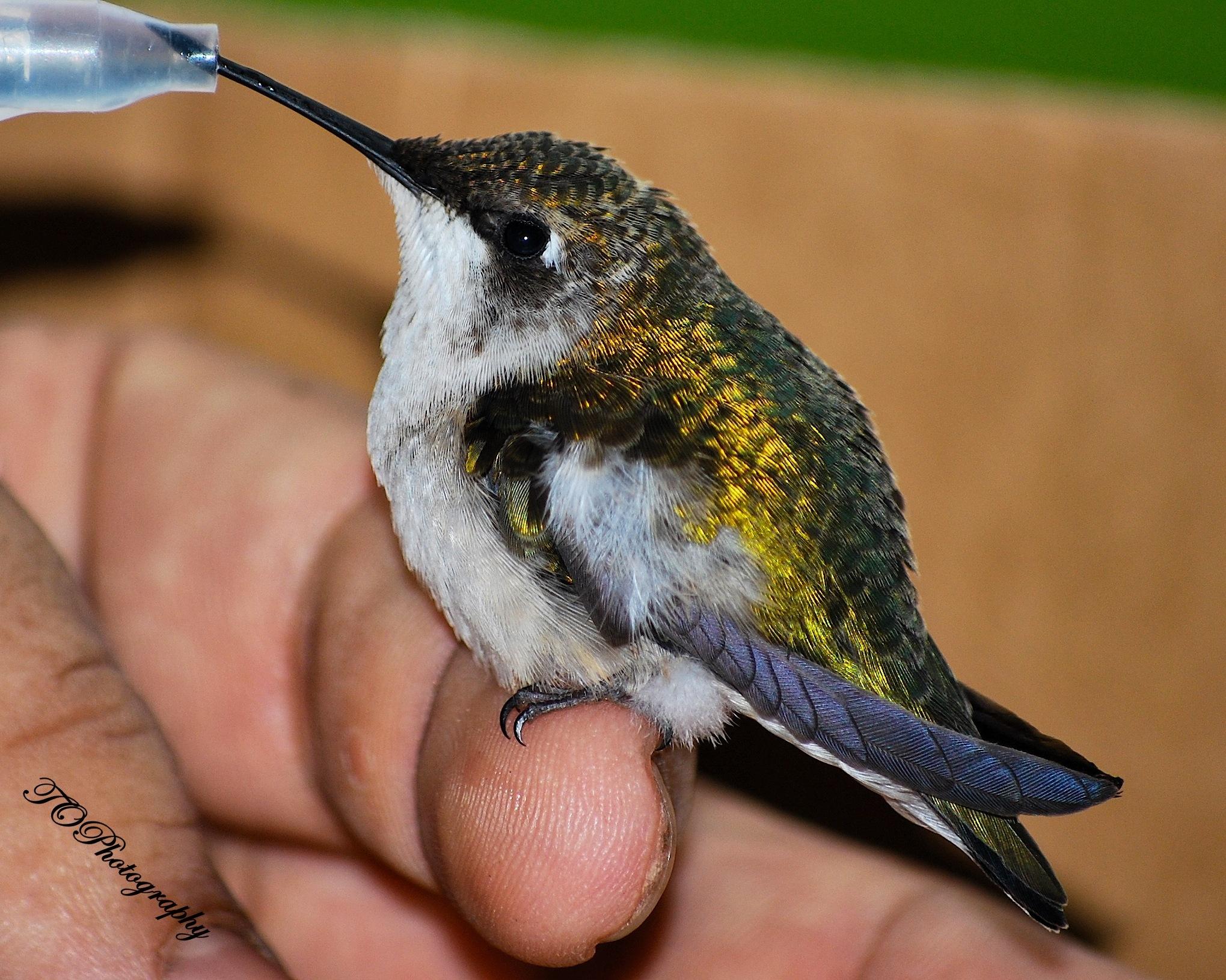 Humming bird by bctruett