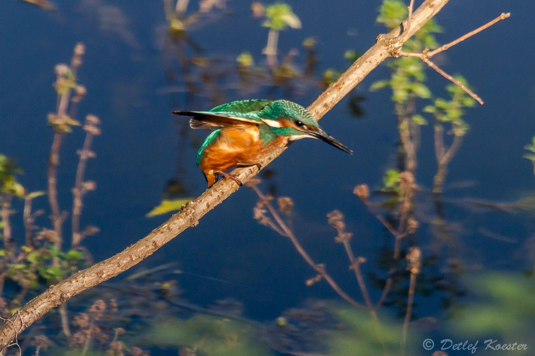 Kingfisher spying by detlefkoester