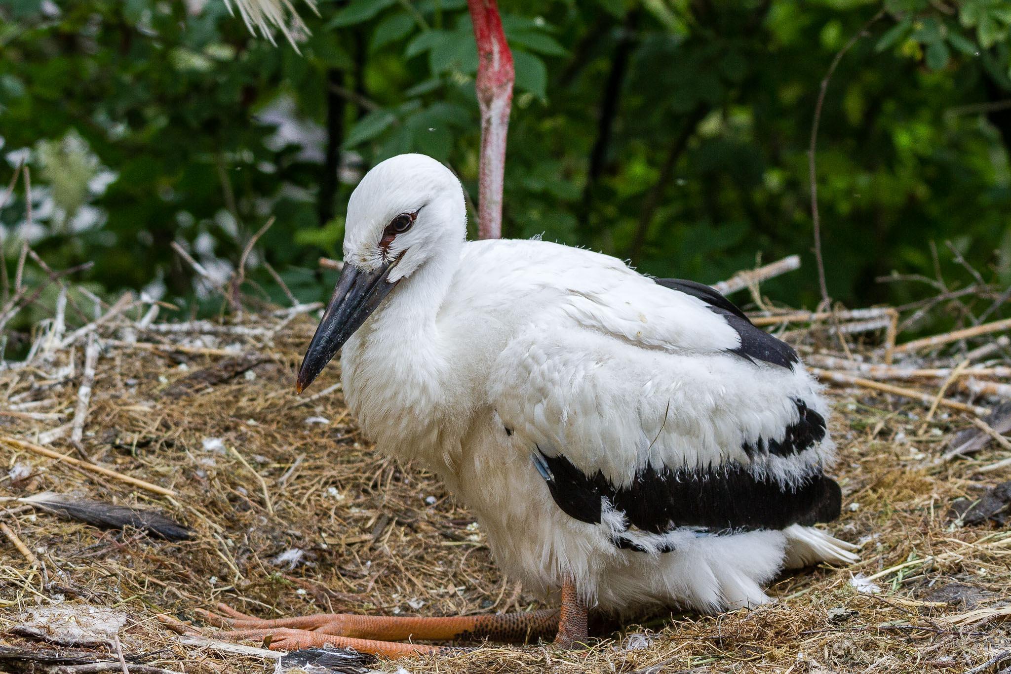 juvenile white stork by detlefkoester