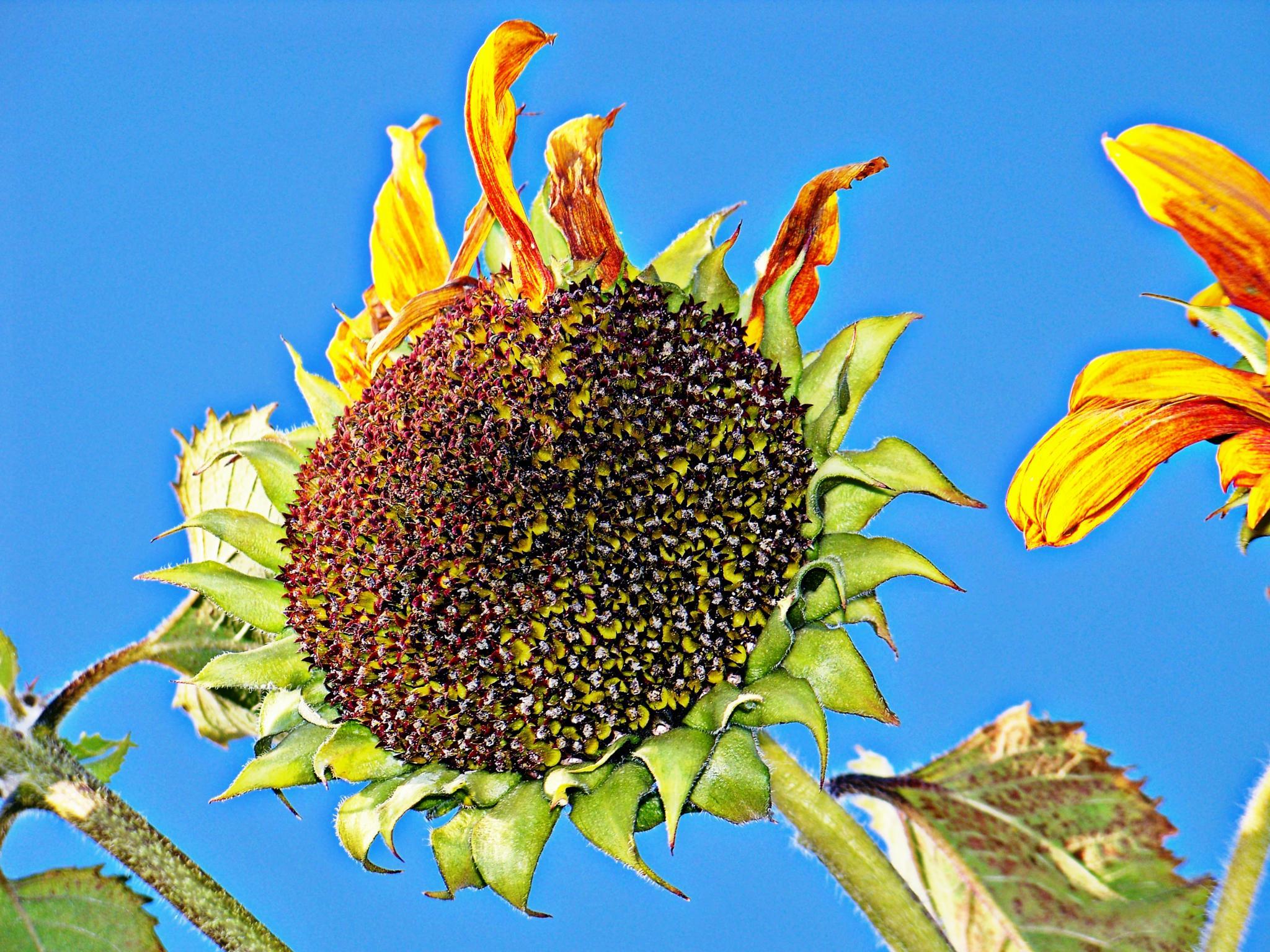 Looking Seedy by jone suleski