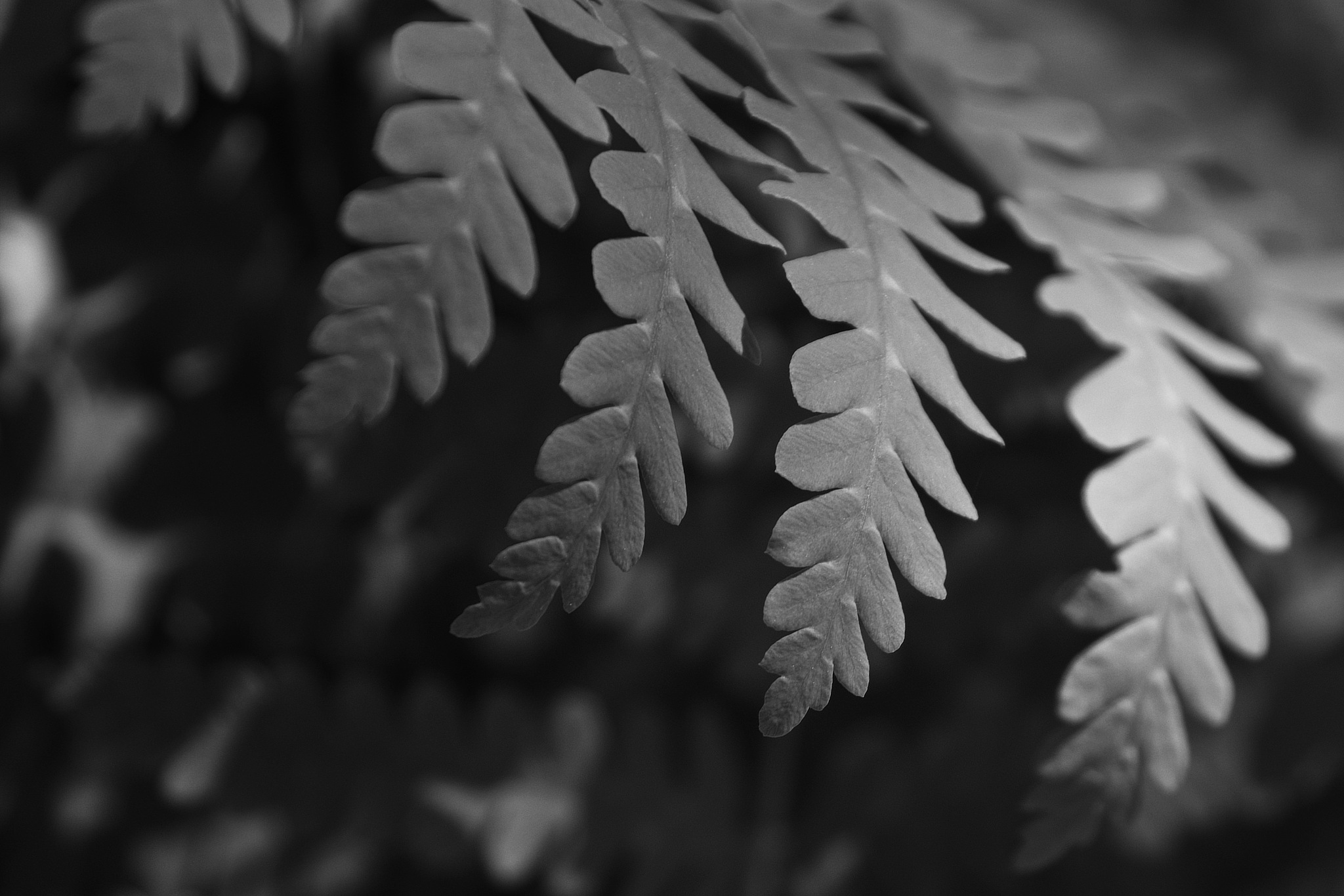 Fern In B&W 1 by JoeGeraci