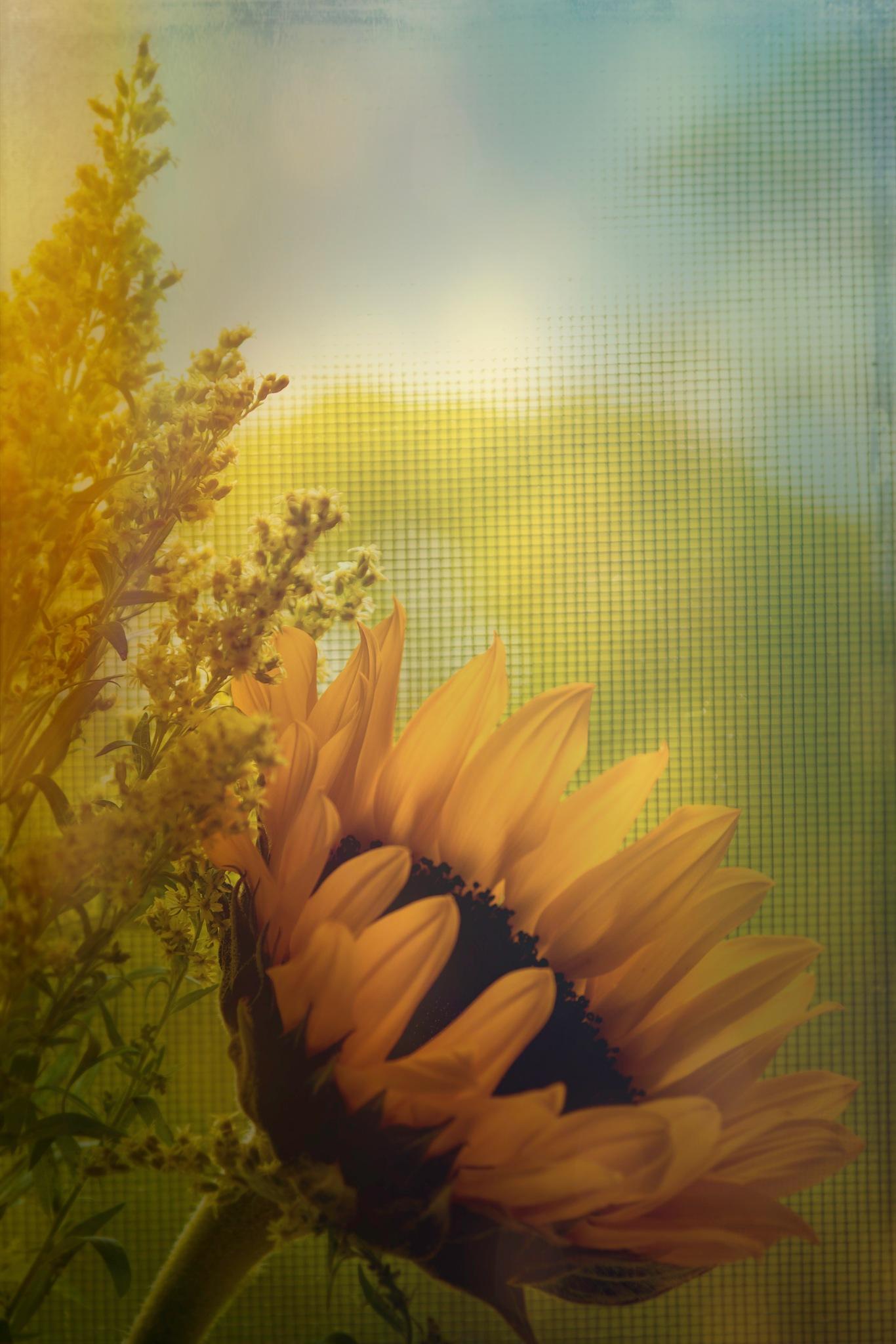 Muted Sunflower by JoeGeraci