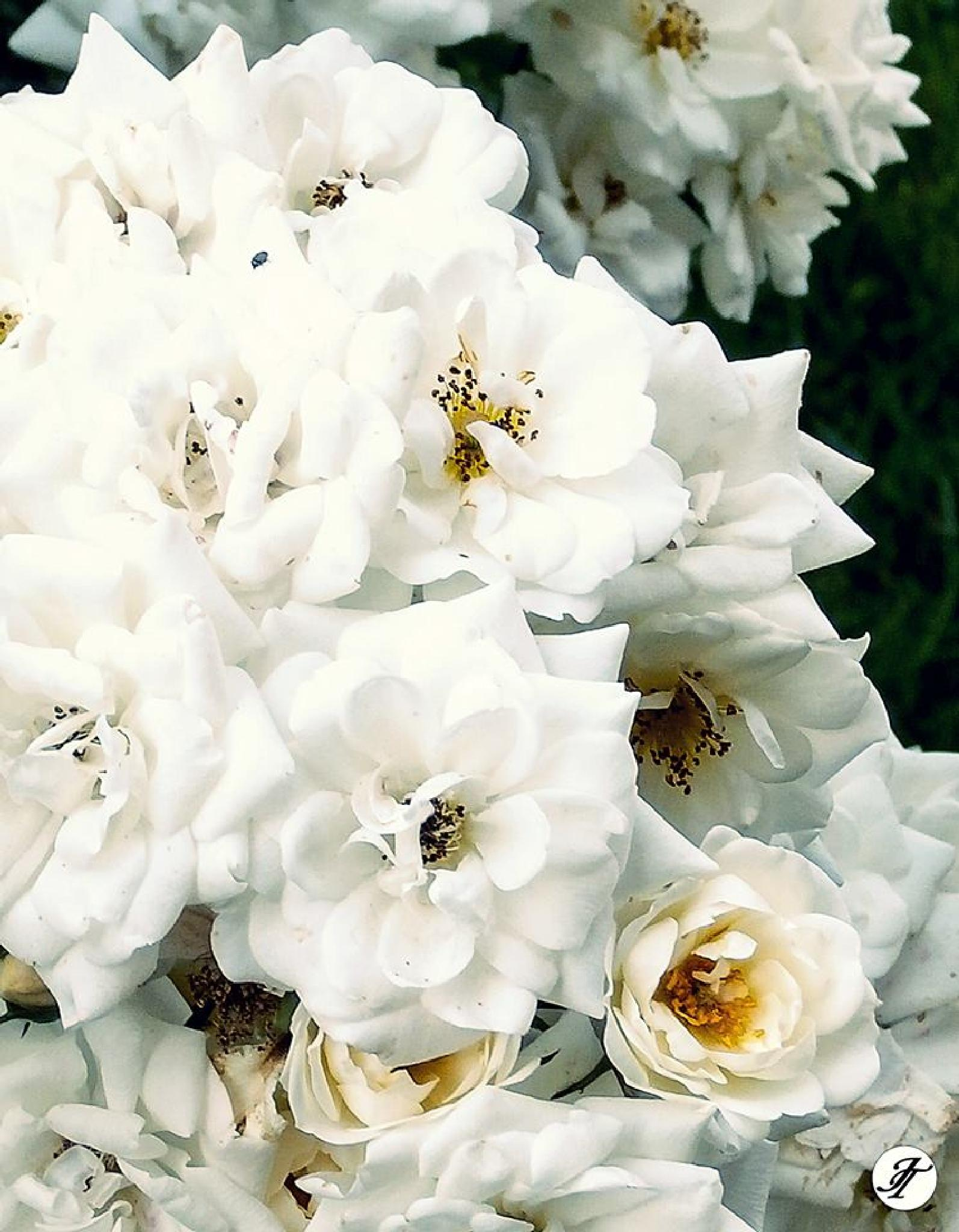 White roses...like a promise that I never leave you by Jasmin