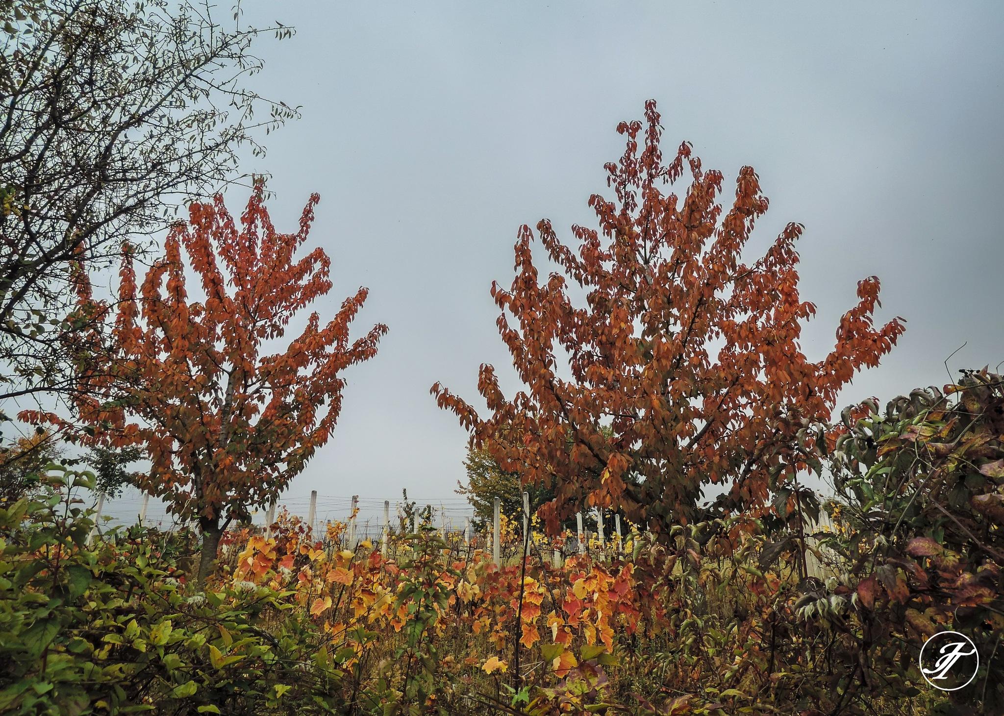 Autumn in vineyard by Jasmin