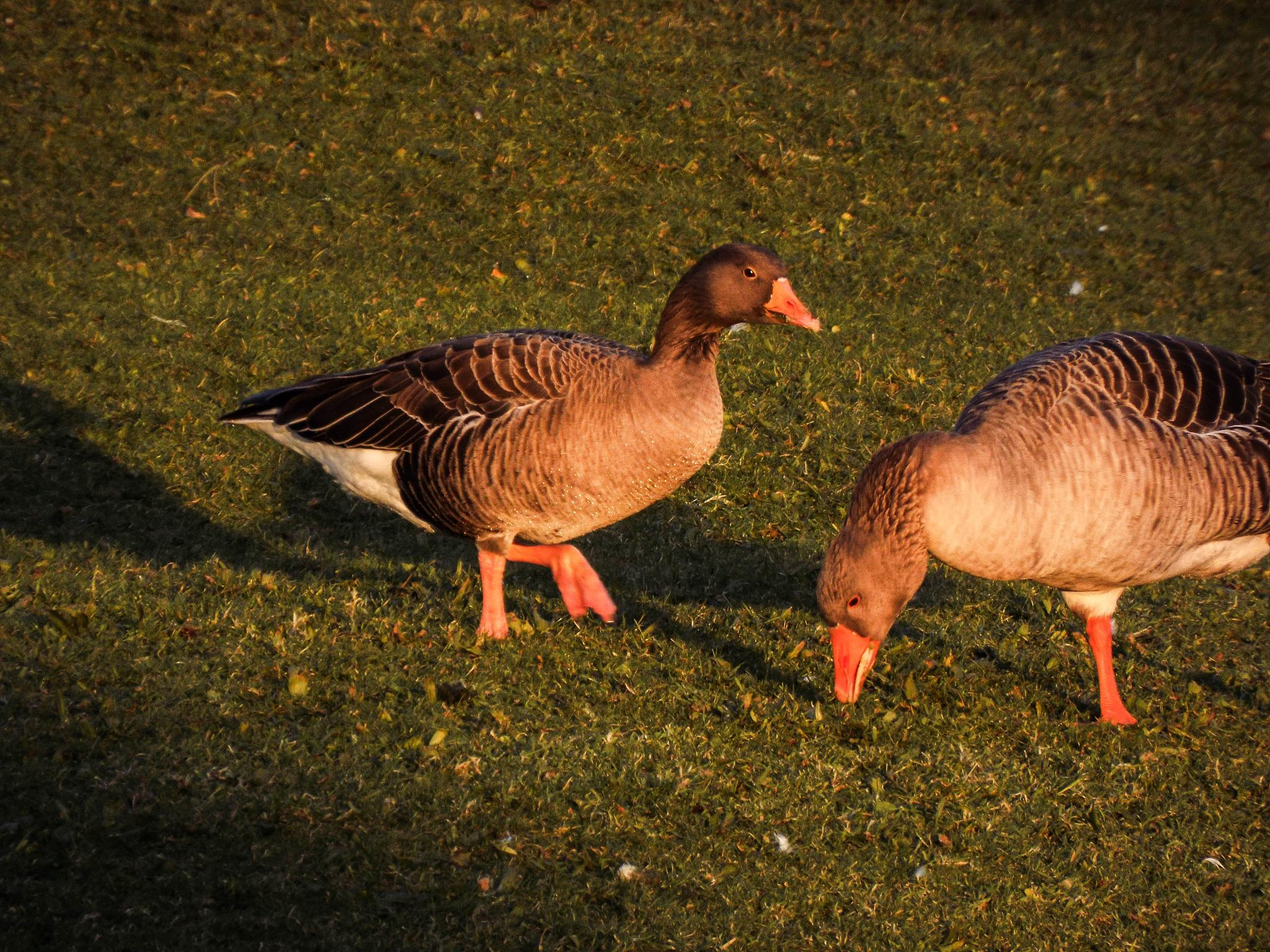 Geese by trace.fleming