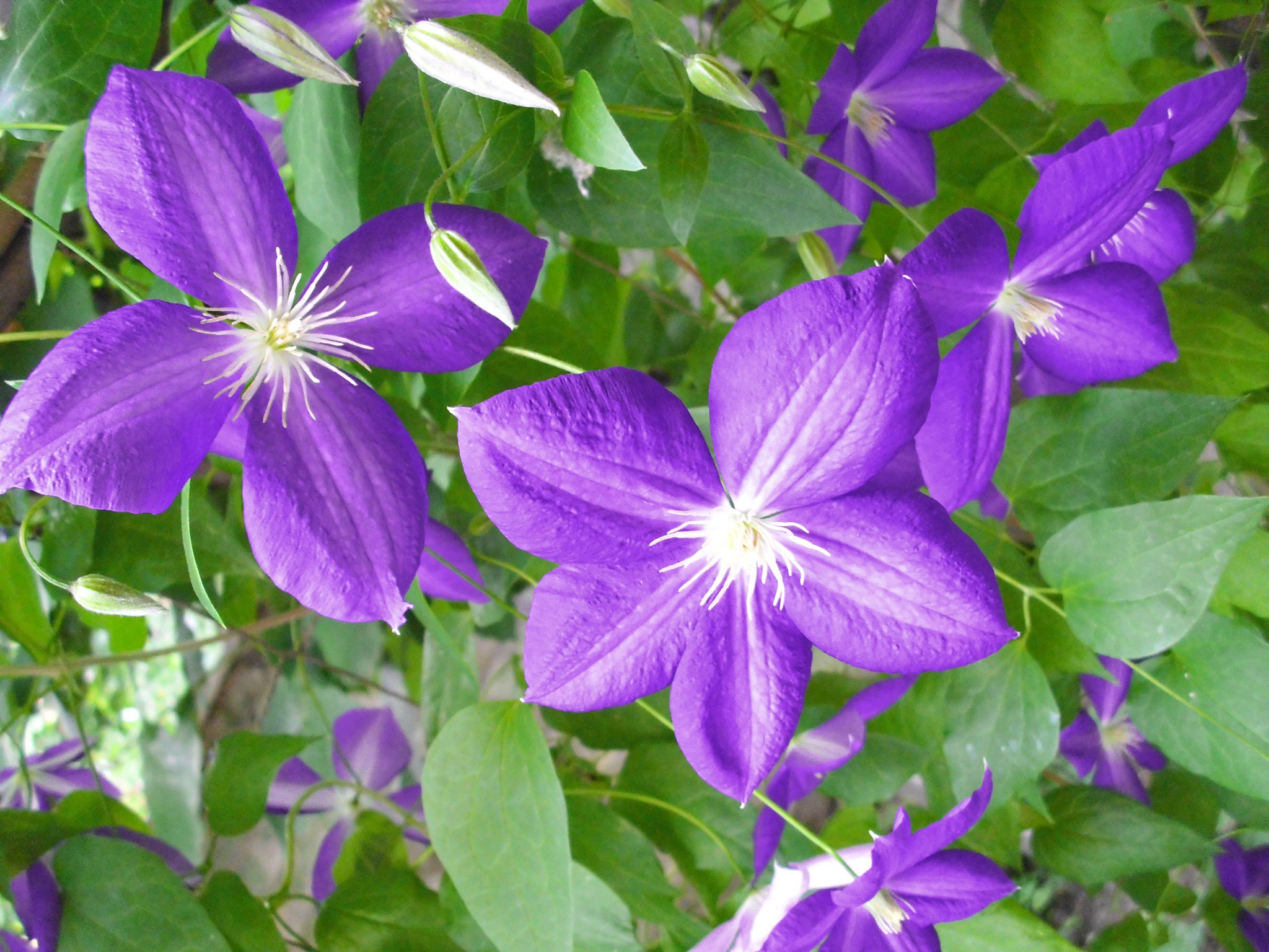 Clematis by marija.sudarevic