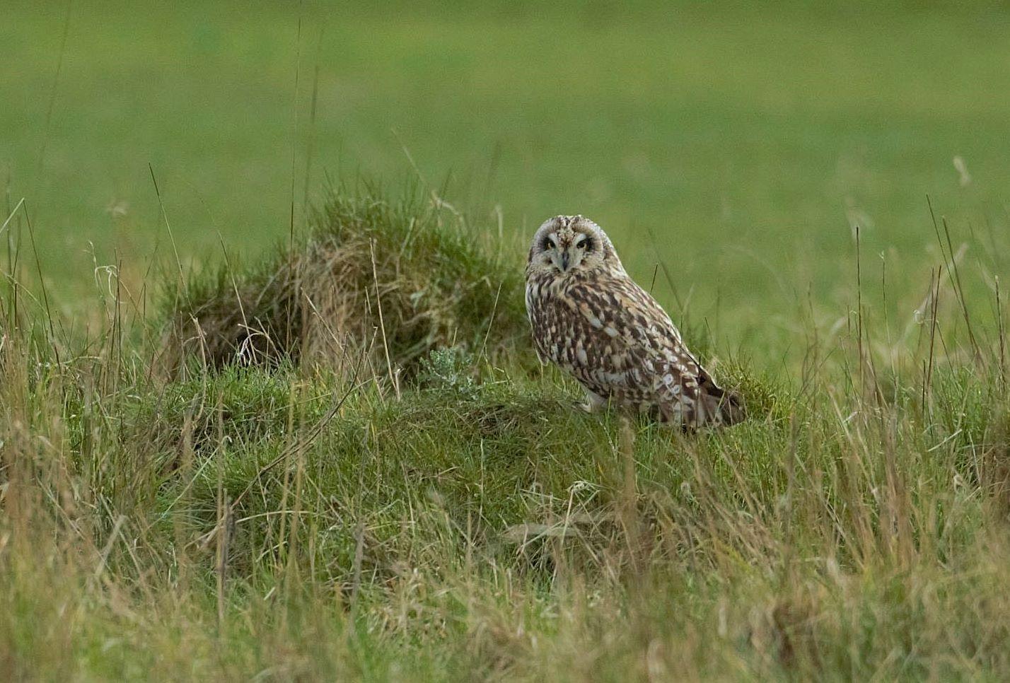 Short Eared Owl by john.few.71