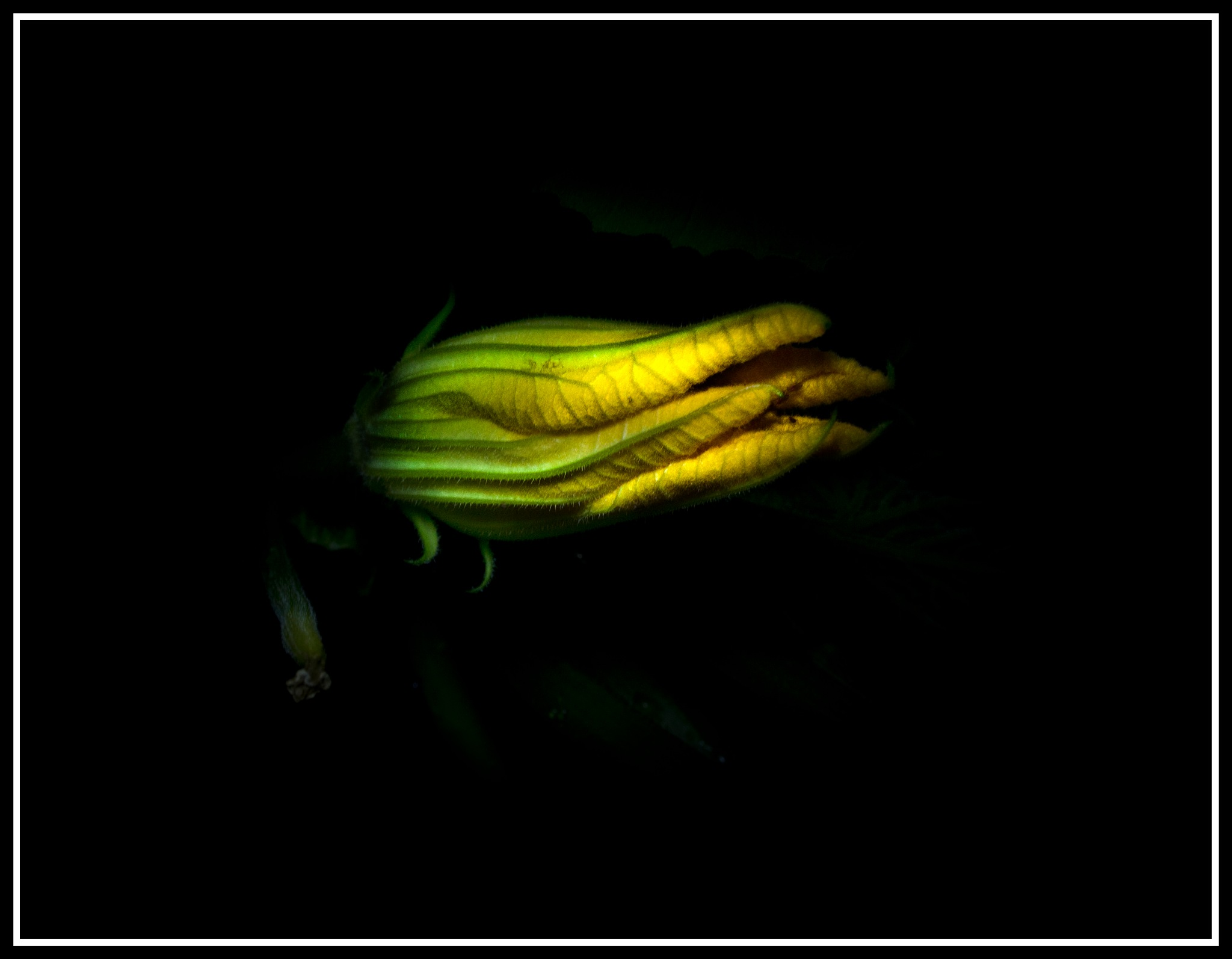 Flowering Courgette by ian.maxwell.52