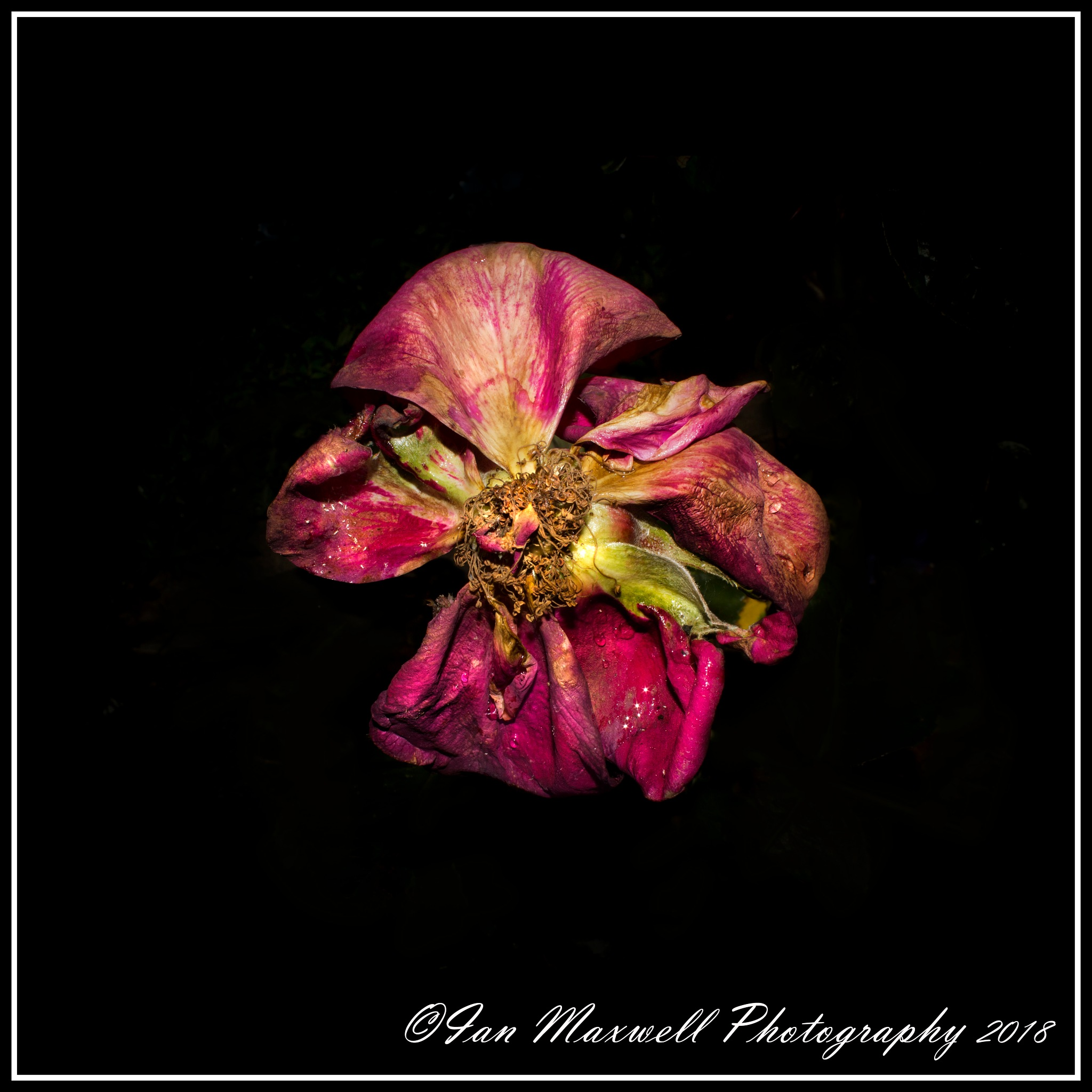 Fading rose by ian.maxwell.52