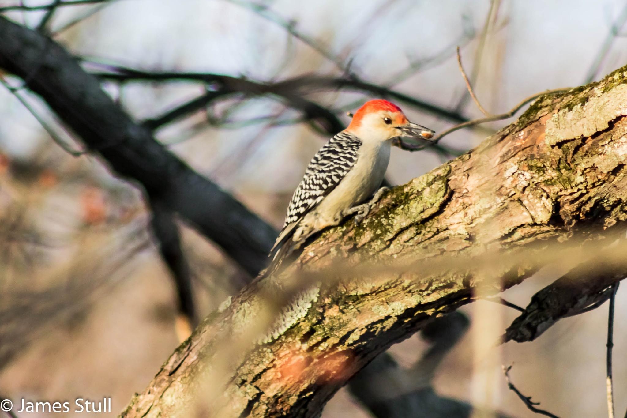 Red bellied woodpecker  by jamesstull9