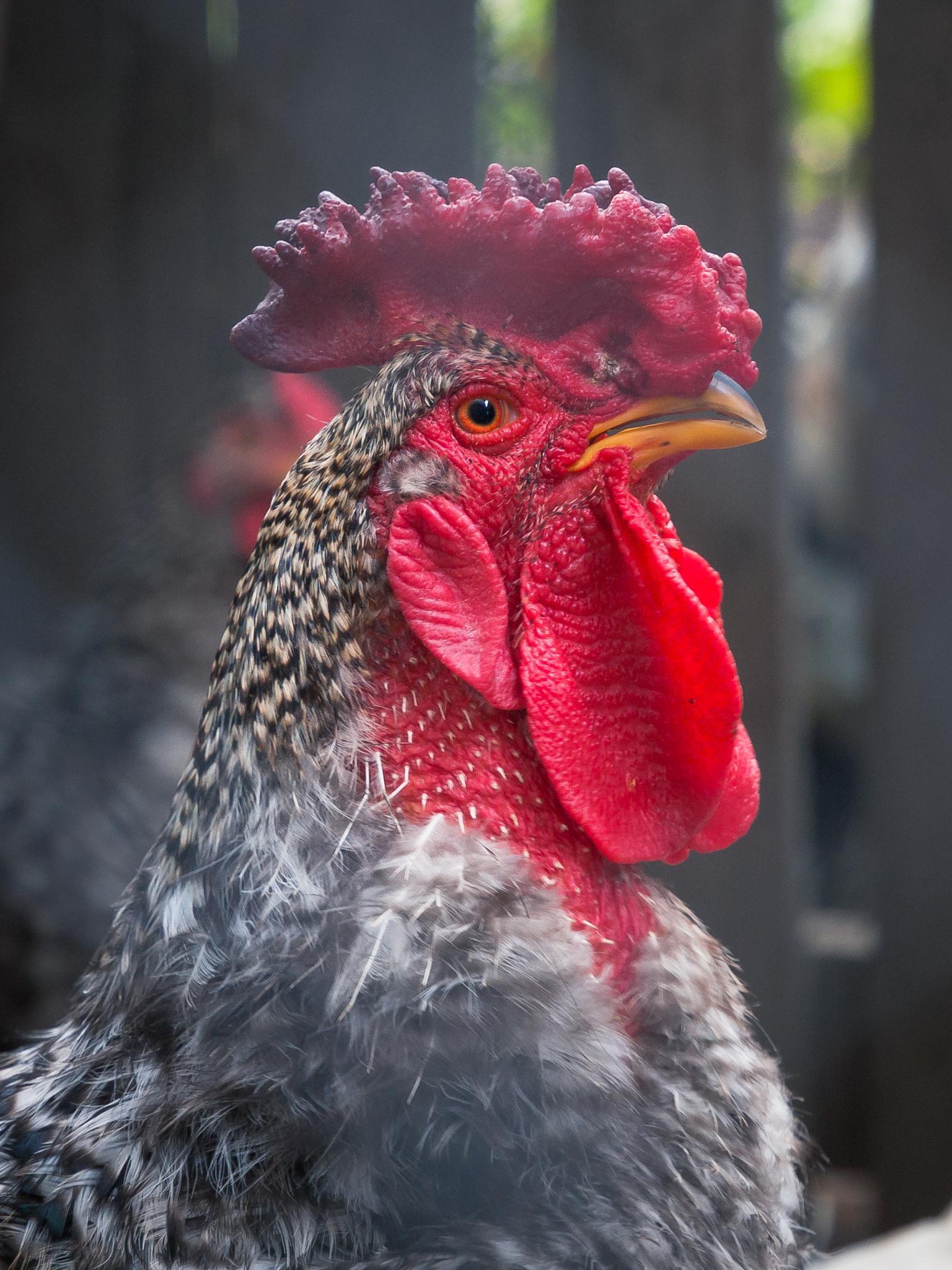 rooster by Alexandru.Lutia