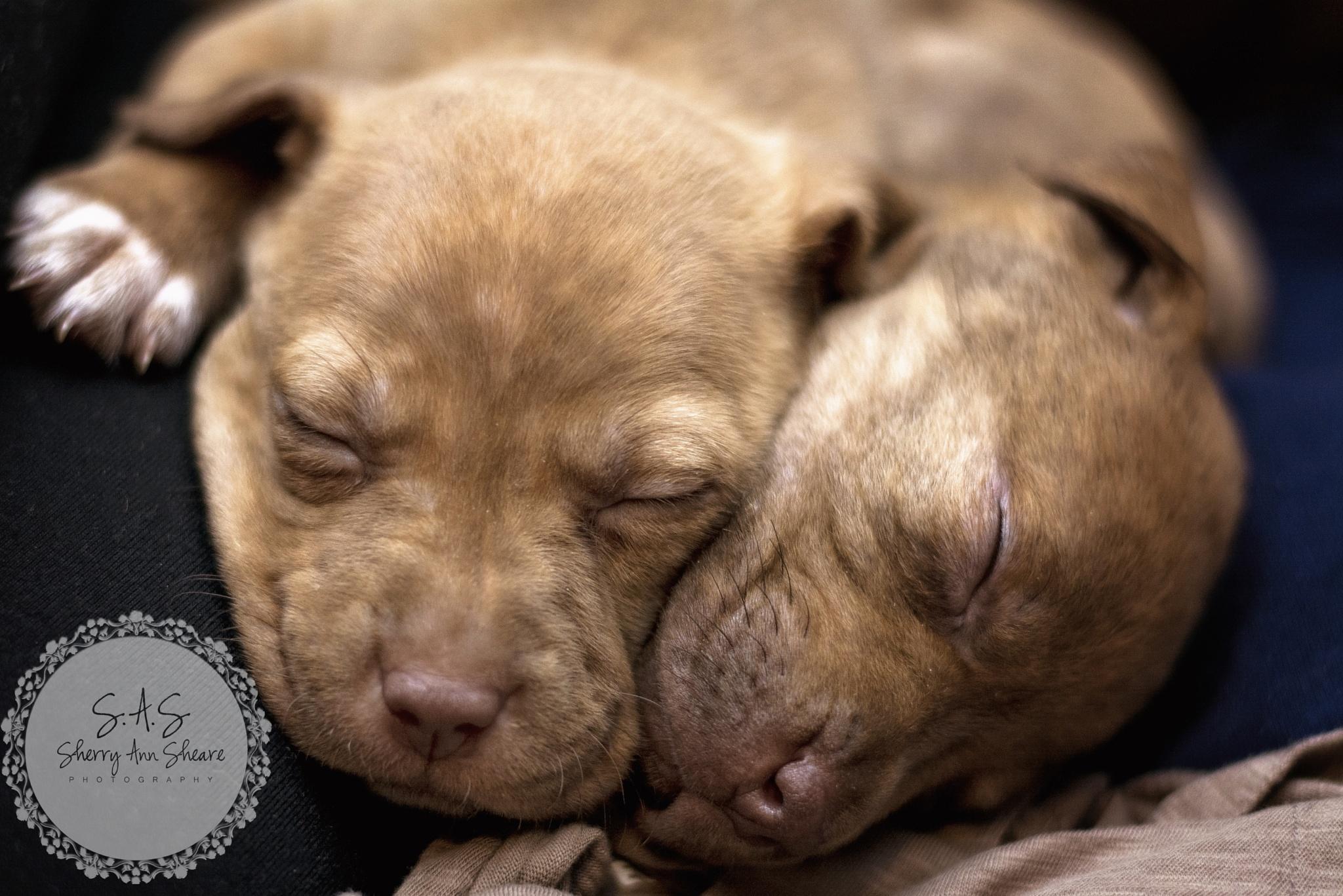 Sibling Pups by Sherry Ann Sheare
