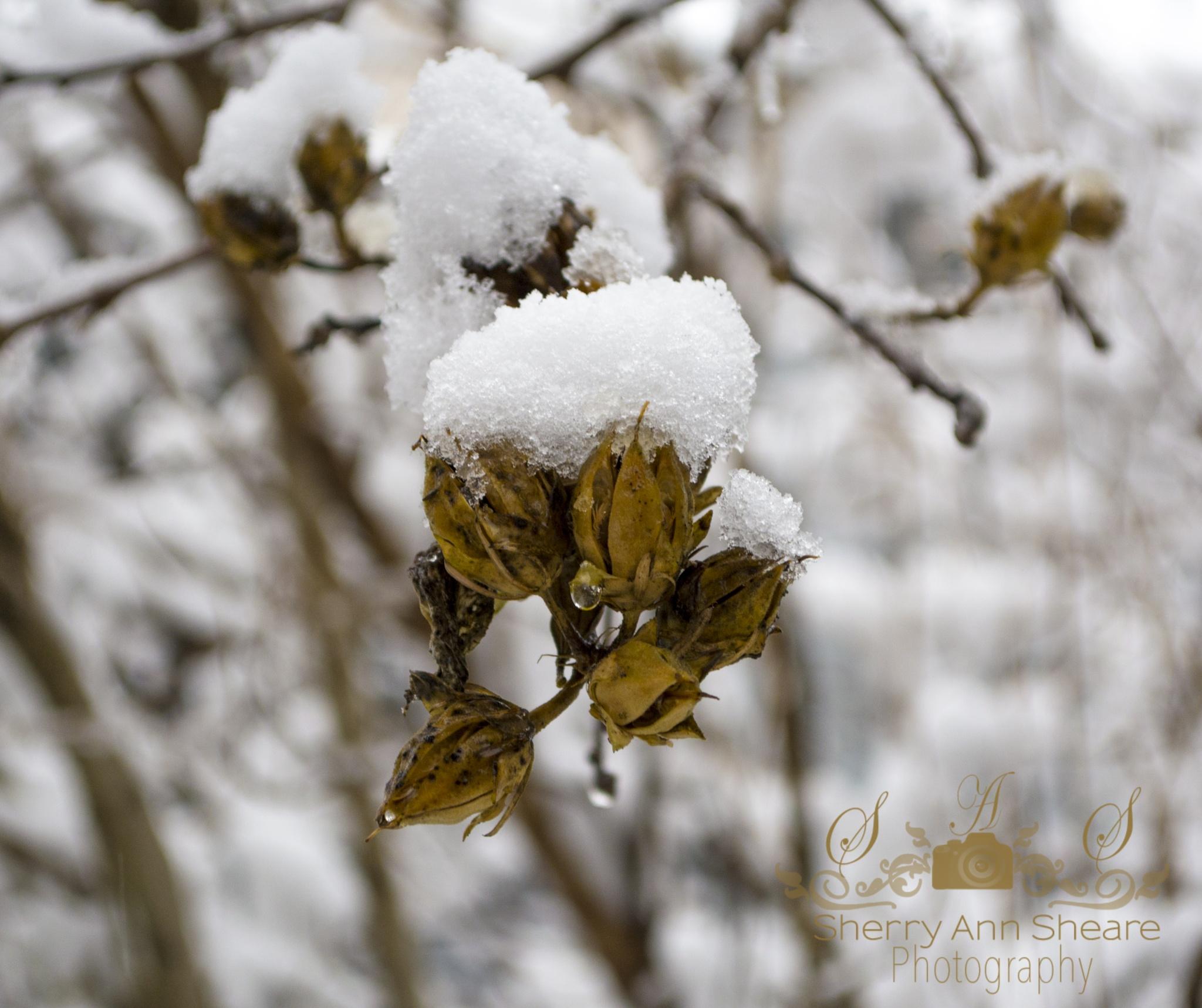Snow by Sherry Ann Sheare
