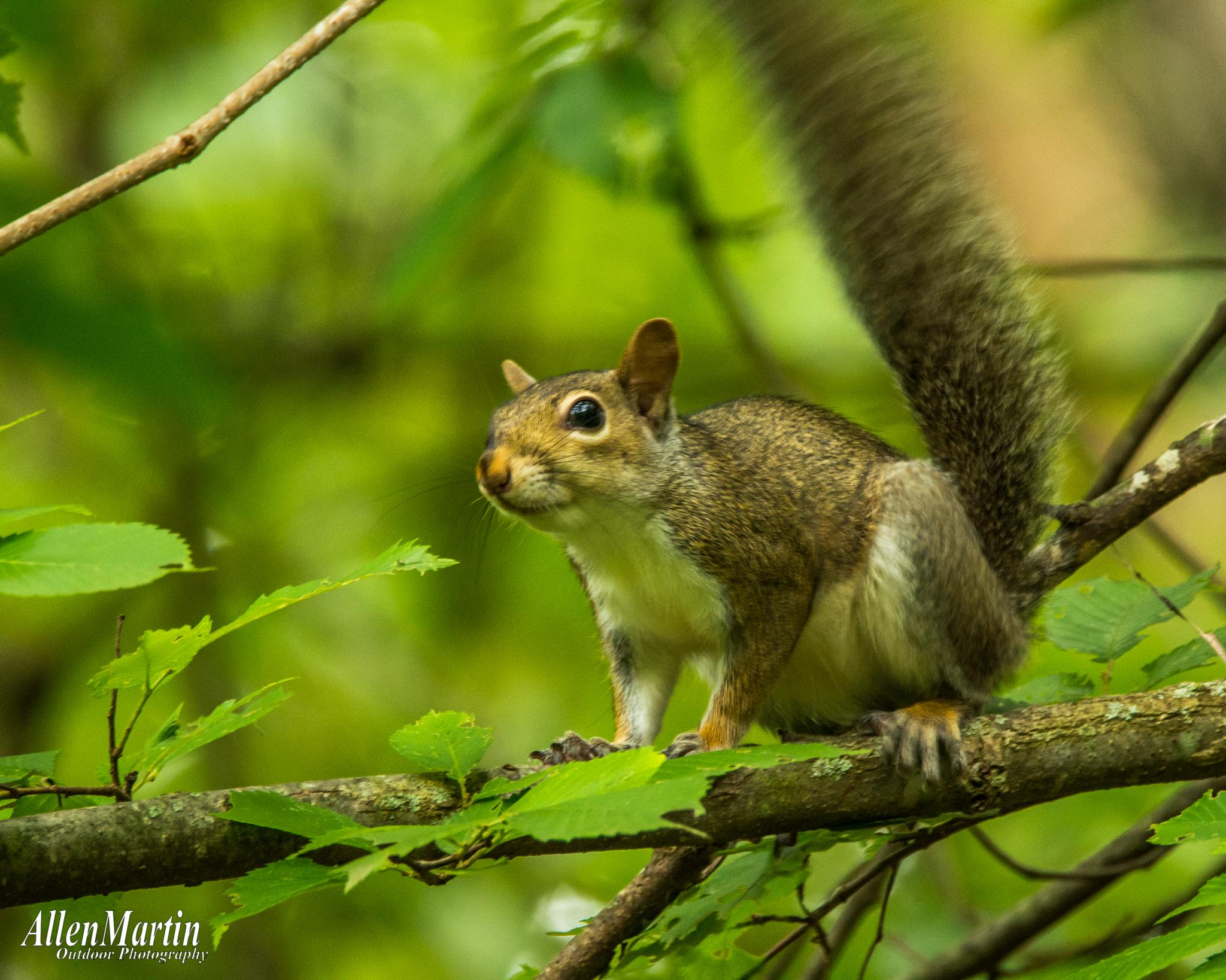 Little Grey Squirrel by Mindcrime121