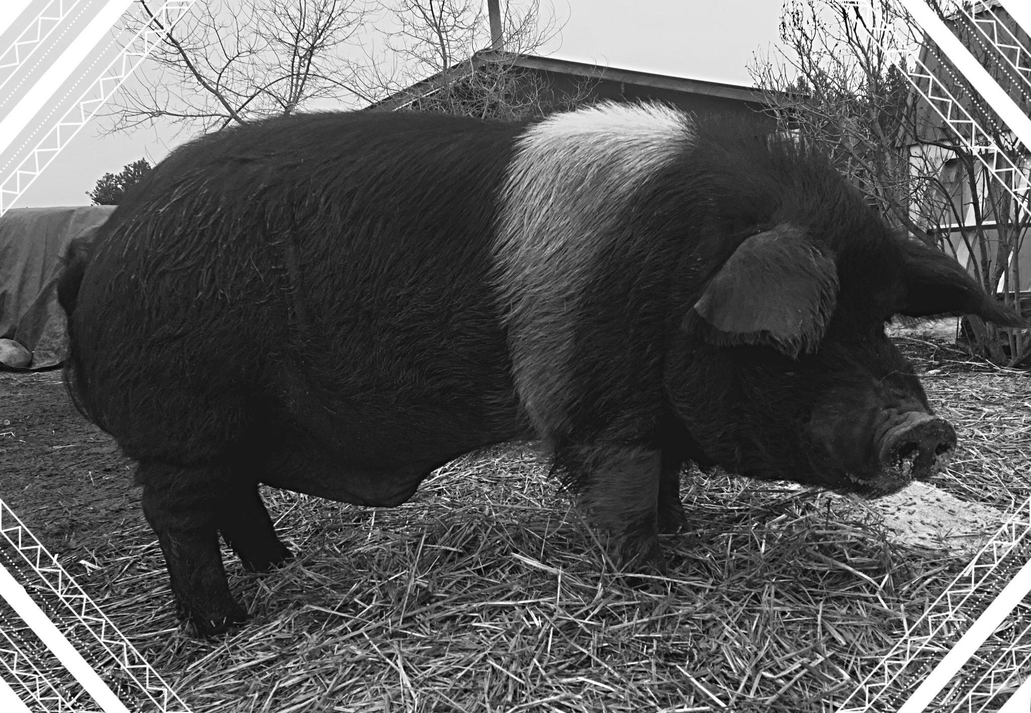 Shaggy :) Farm Life :) by jada.pinson