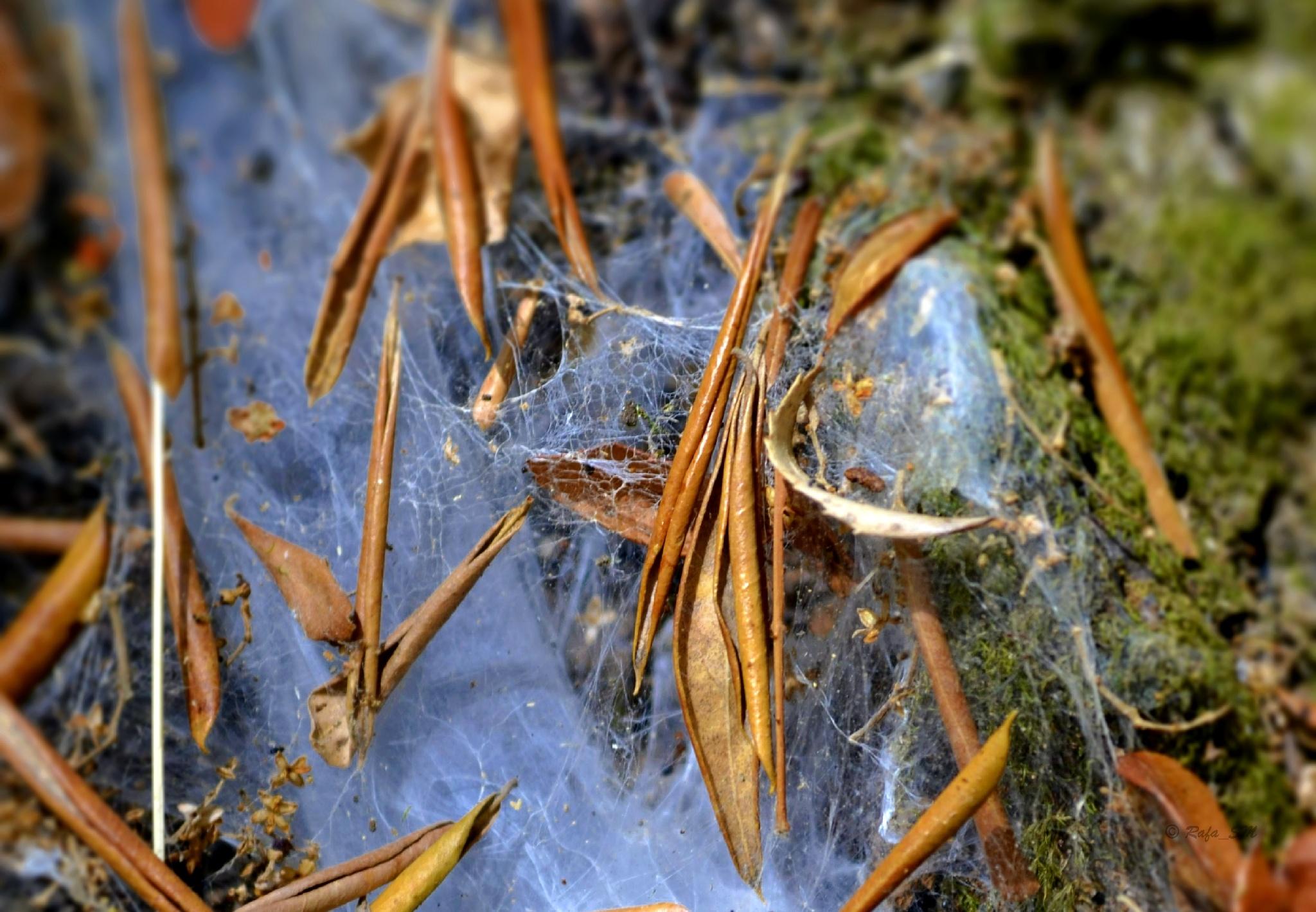 Spiderweb by RafaelSM