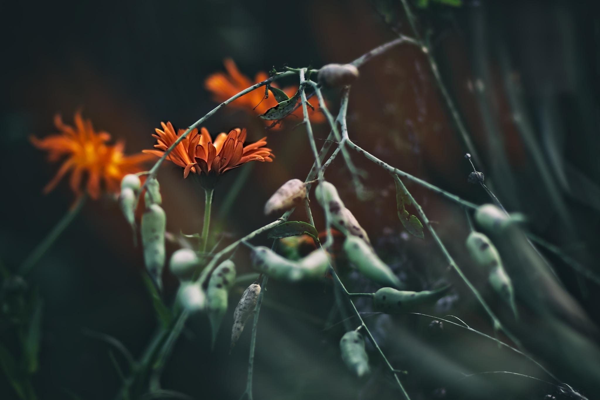 Marigold by tonyjoe.gardner