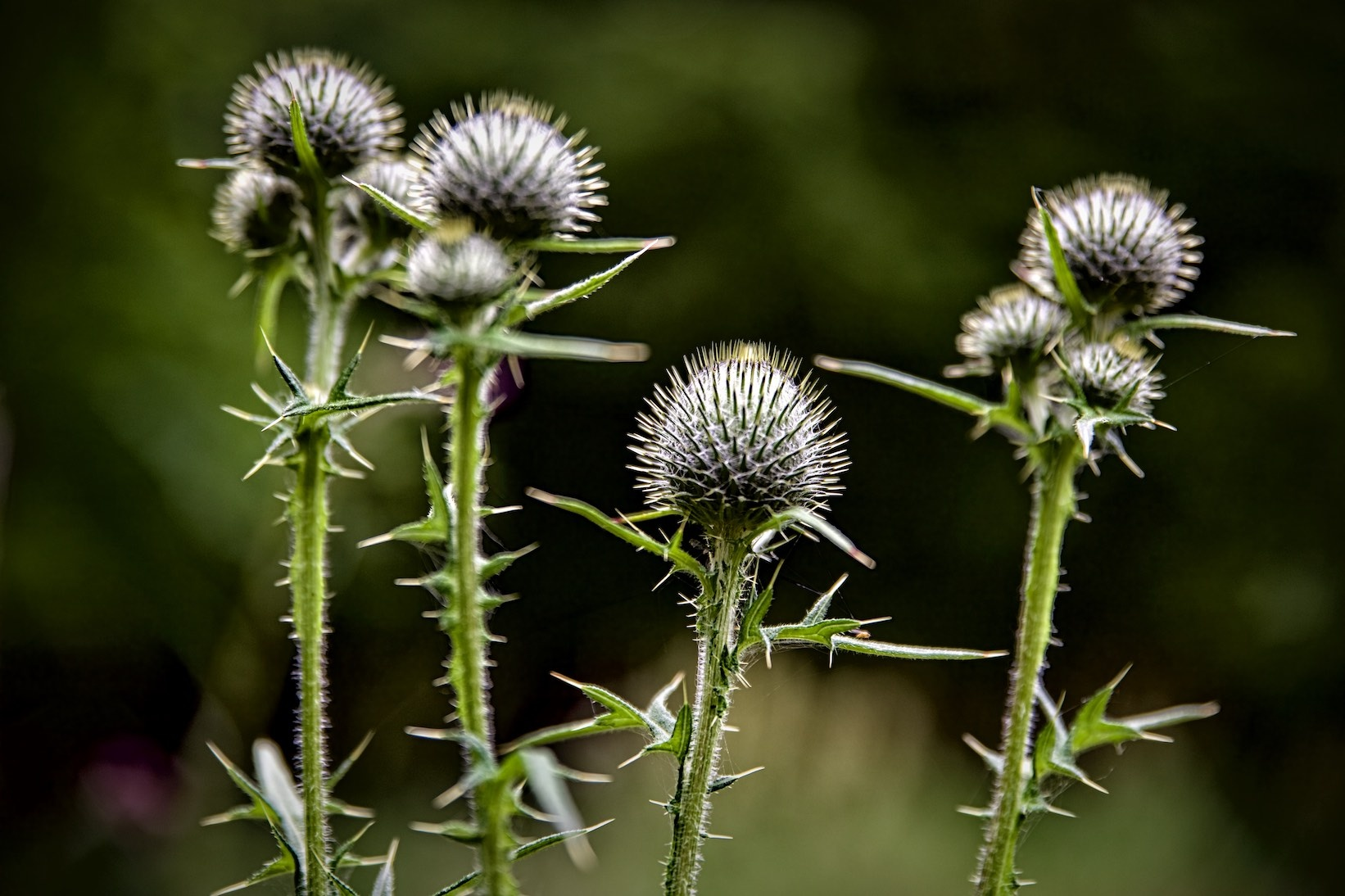 Thistle by tonyjoe.gardner