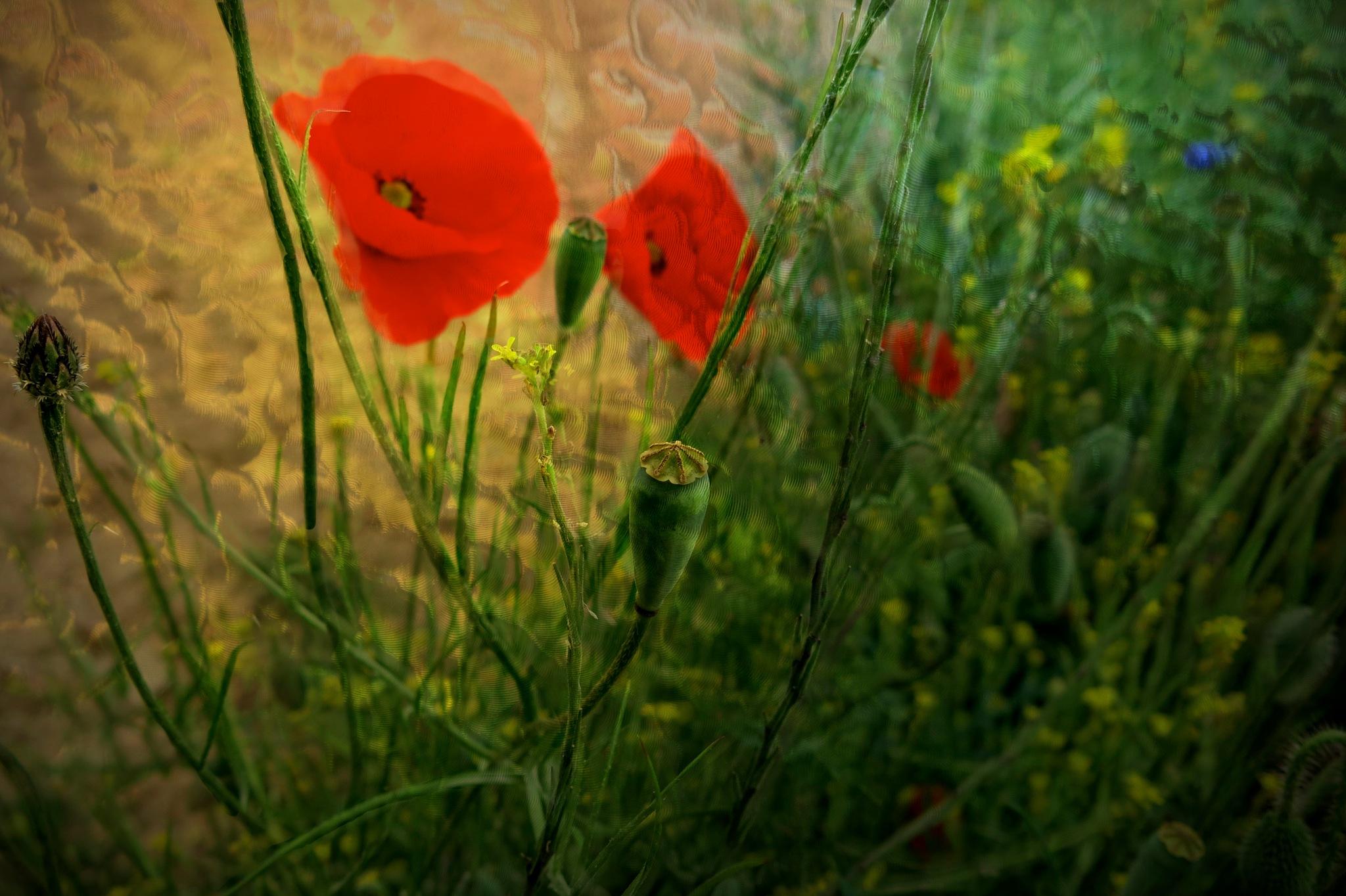 Poppies by tonyjoe.gardner