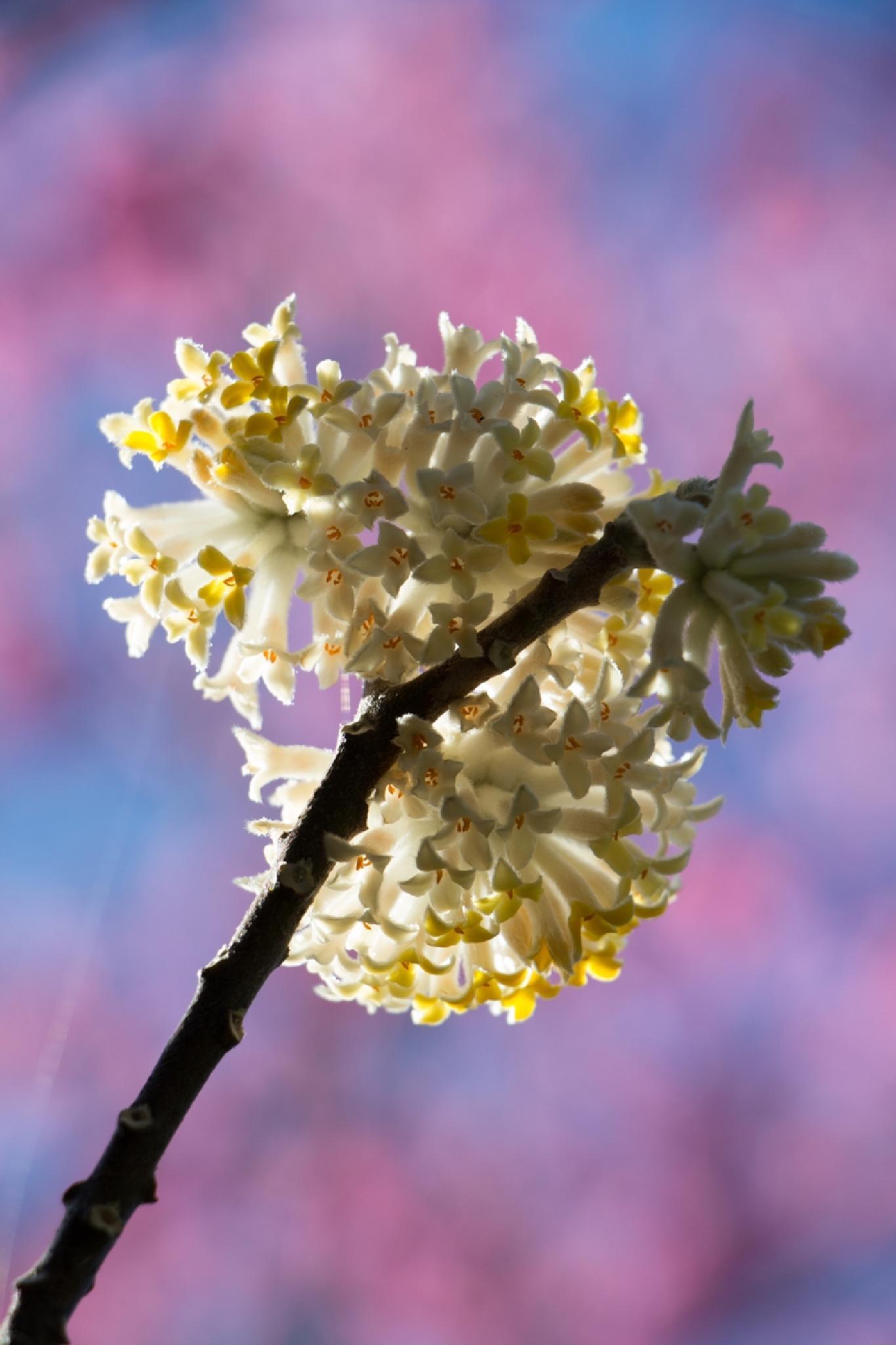 Flower by silvia dz