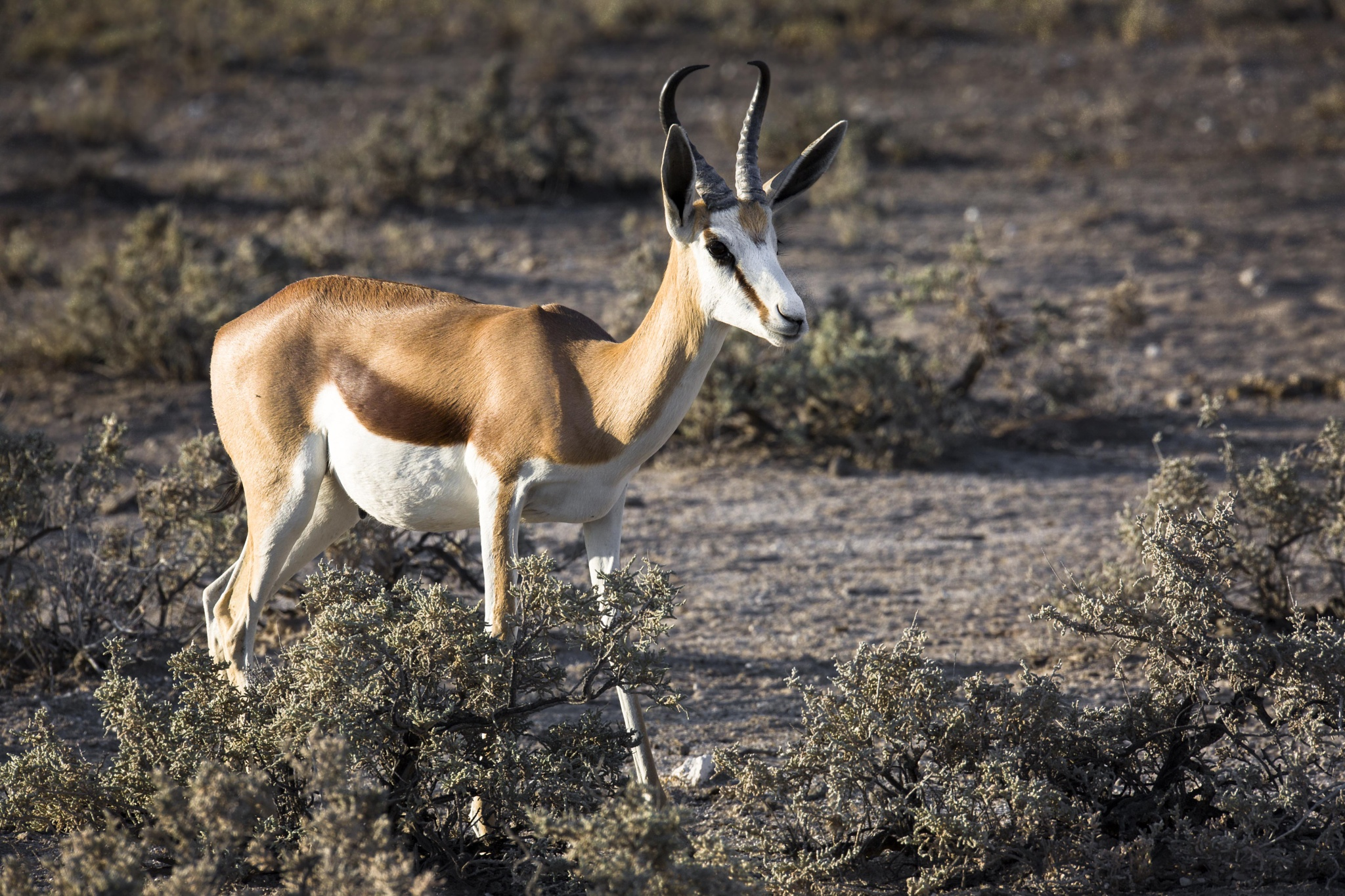 Springbok by bob55