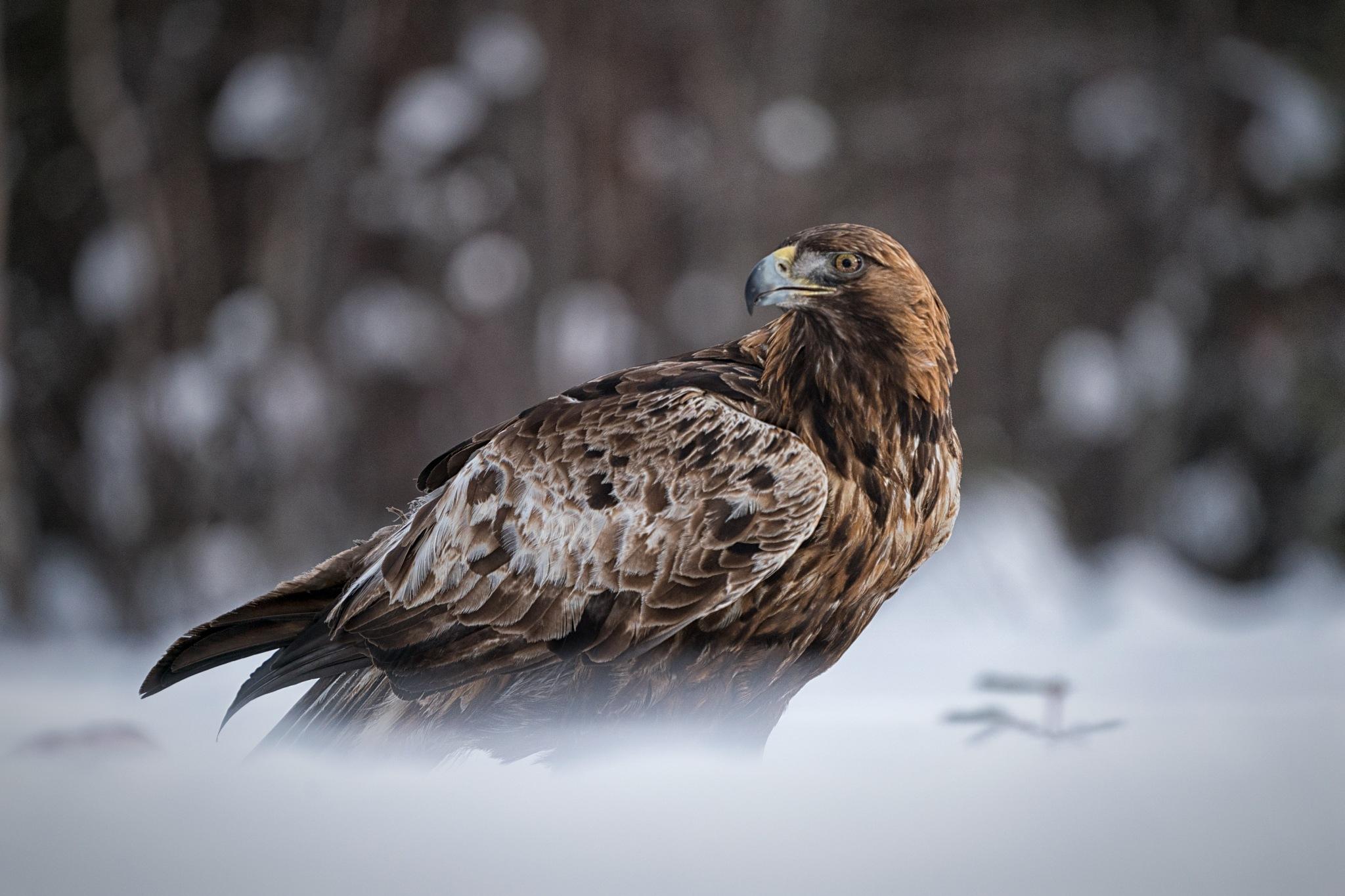 Golden Eagle by bob55