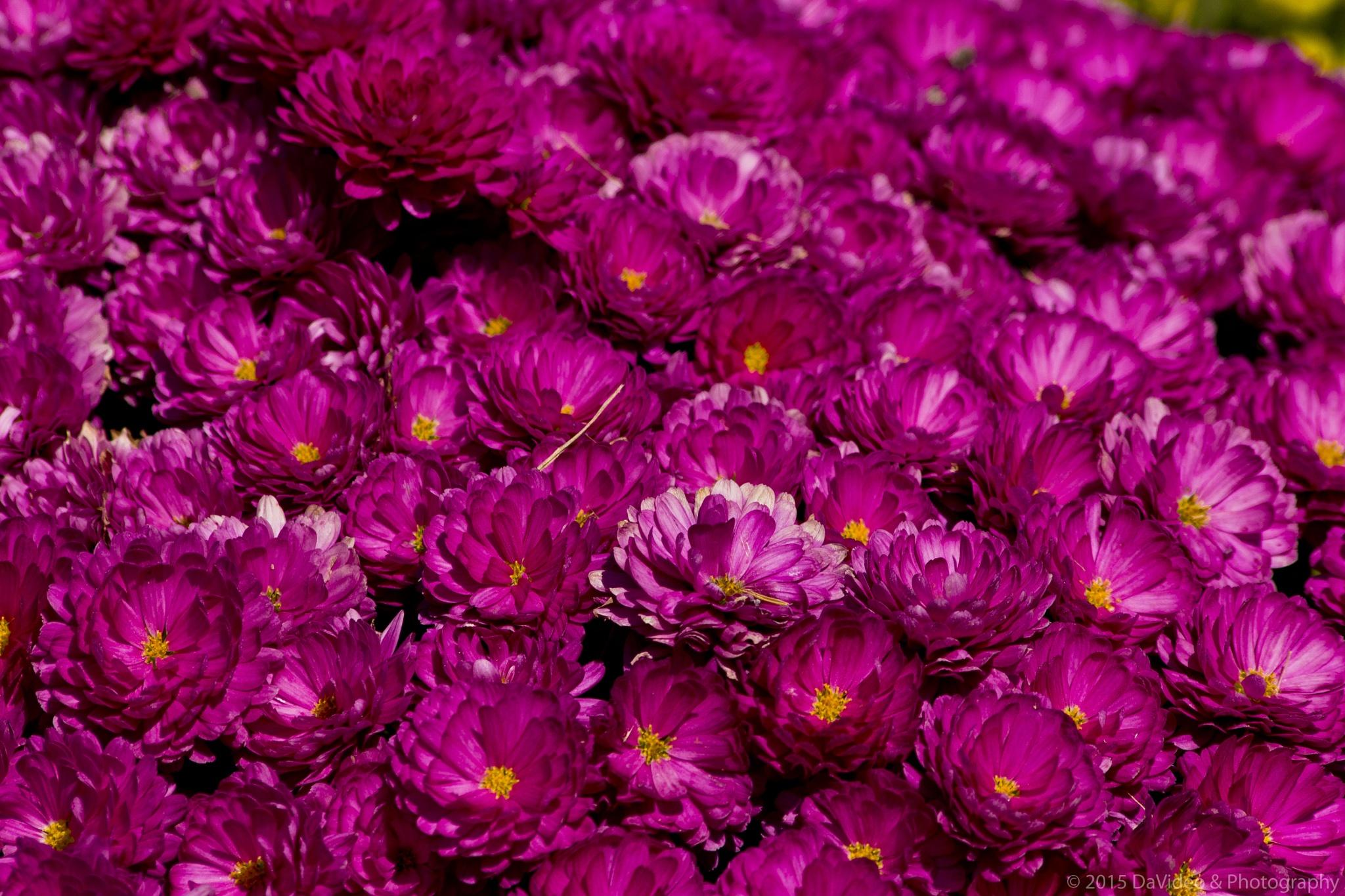 Sea of Purple Mums by dave.skorupski