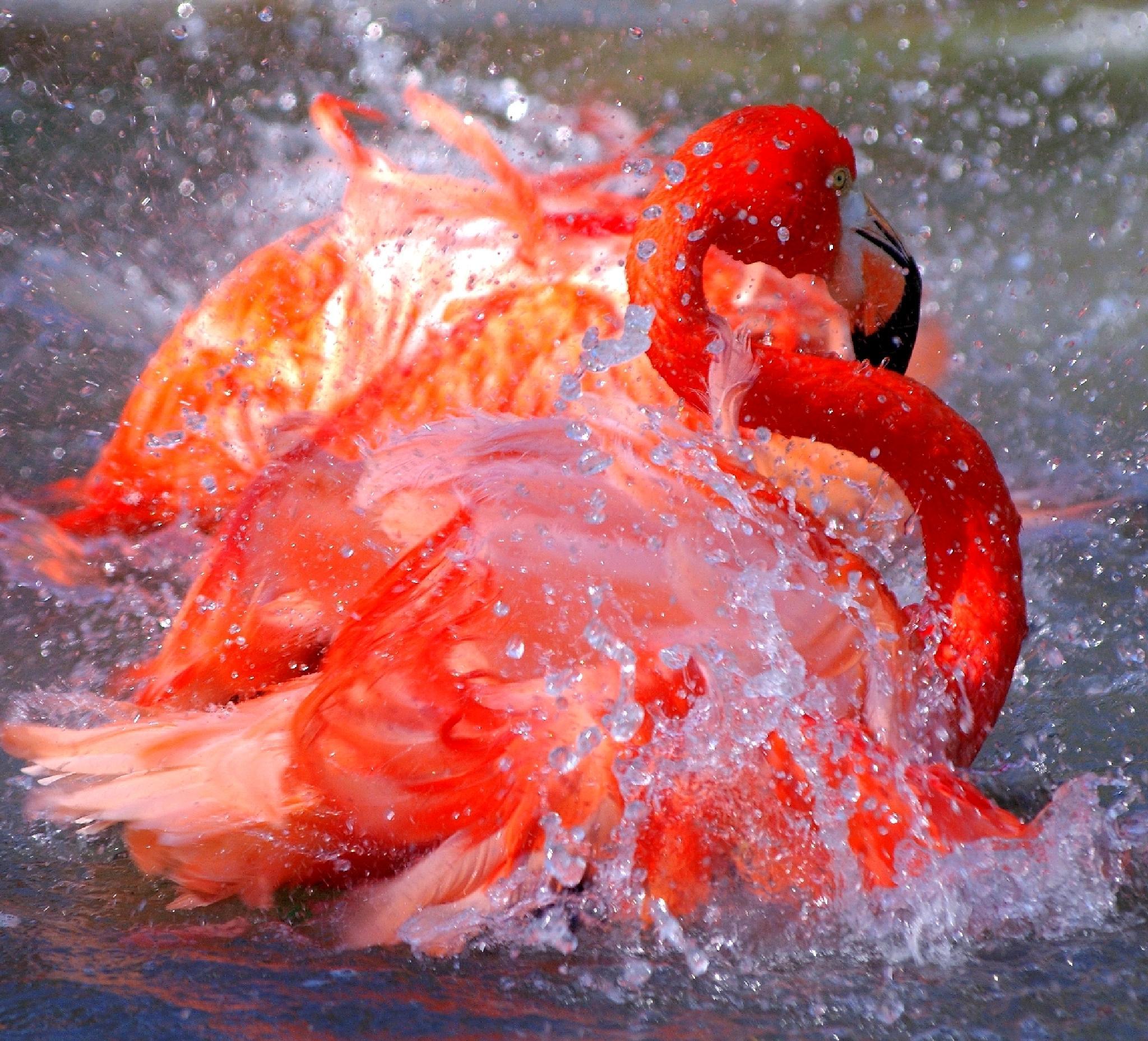 Hot flamingos by Carlos.Alberto.Andrade.Cruz