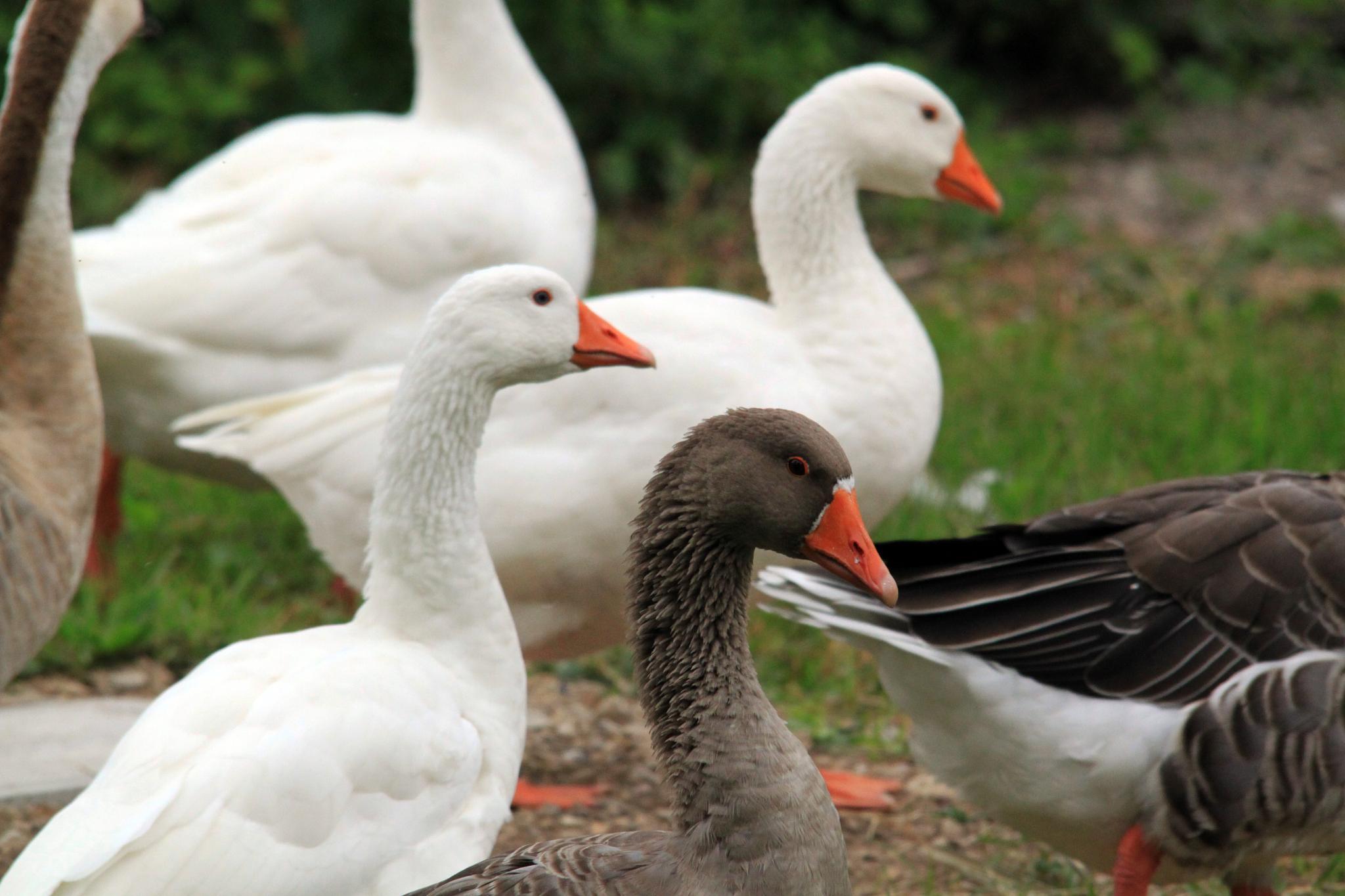 Quack! by Davide 'Dado Dalle Ave