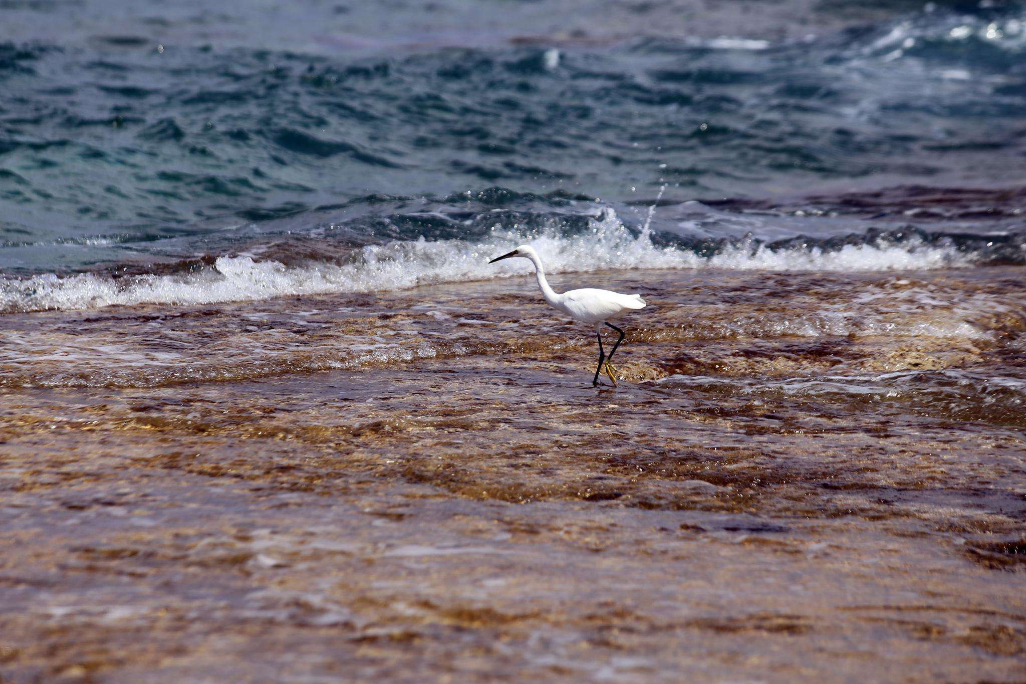 White waterbird in Crete by Davide 'Dado Dalle Ave