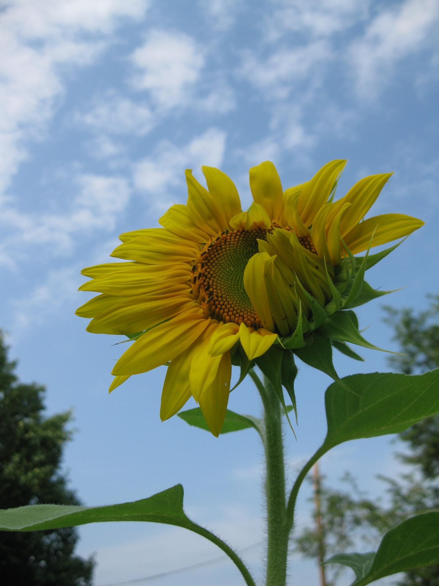 Unfurling Sunflower by jo.mcgraw.737