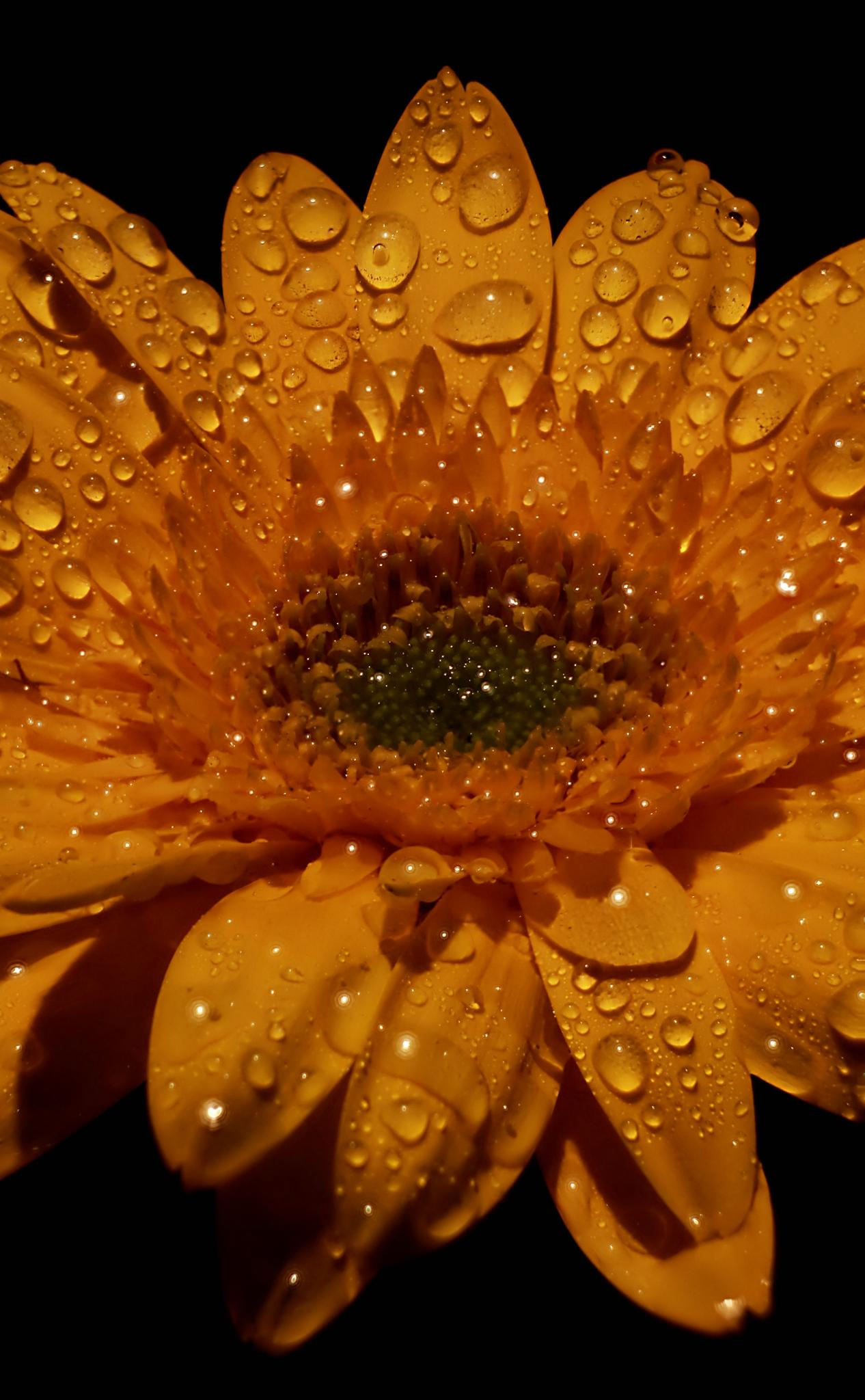Dew on Gerbera by Andrew Munro