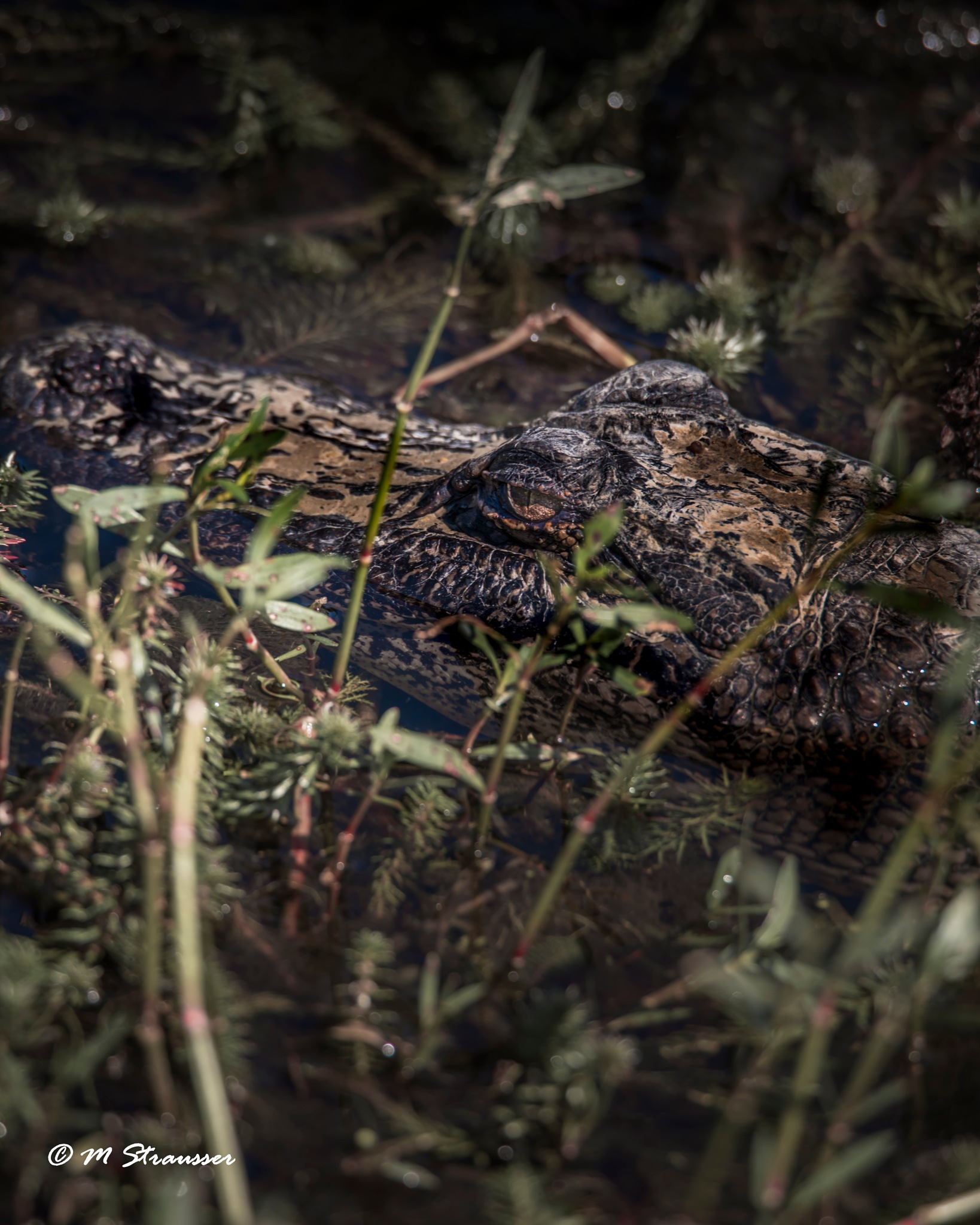 gator head by MStrausser of the iMage Shack
