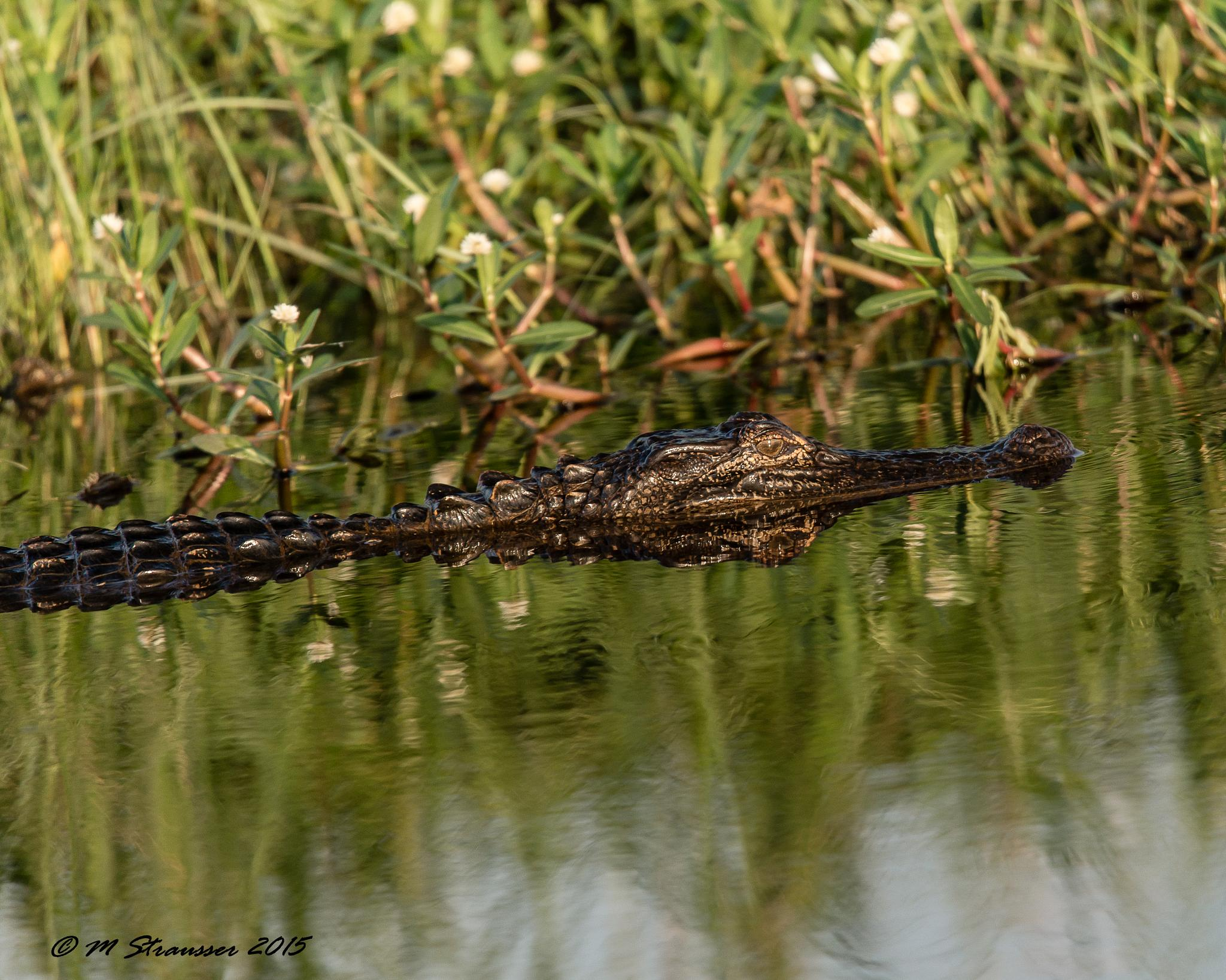 gator 3 by MStrausser of the iMage Shack