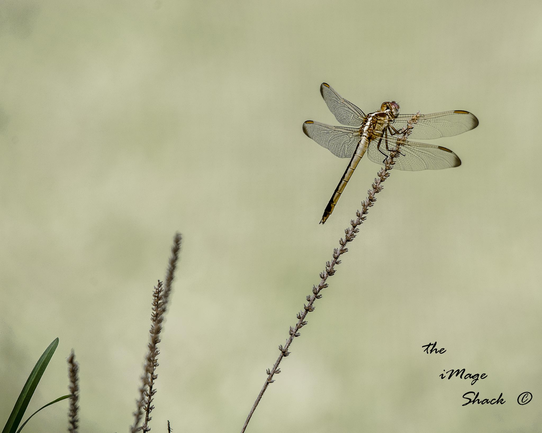 dragonfly by MStrausser of the iMage Shack