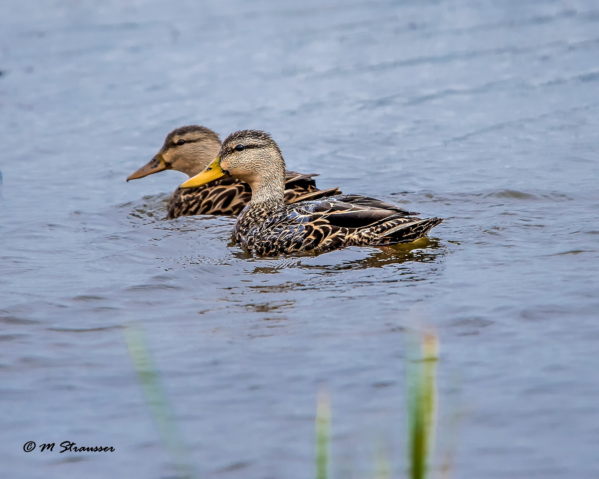 ducks by MStrausser of the iMage Shack