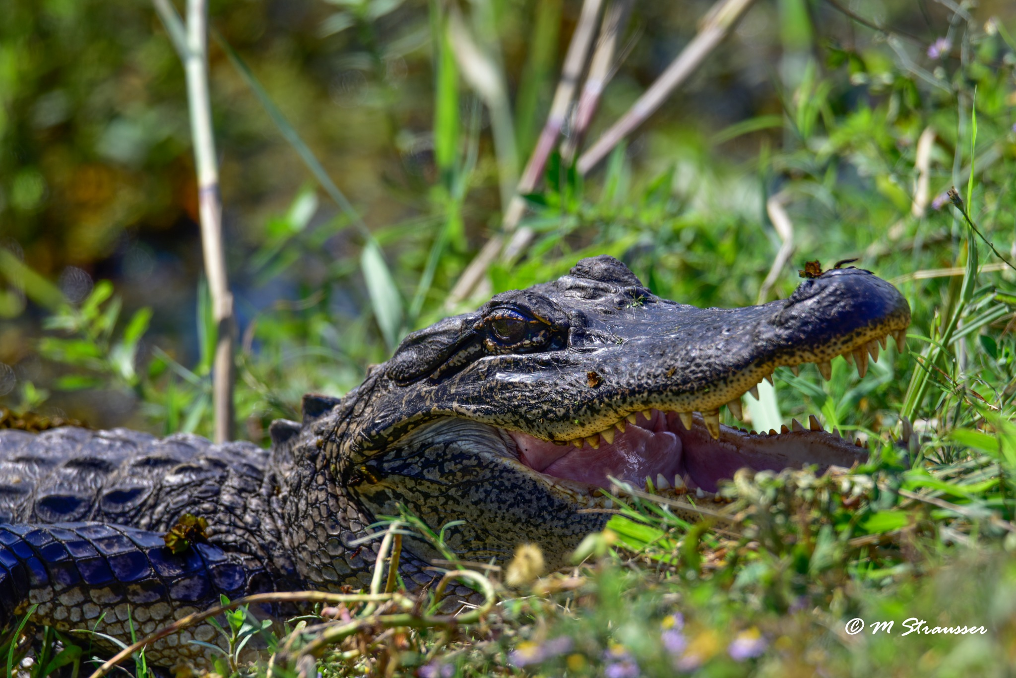 gator by MStrausser of the iMage Shack