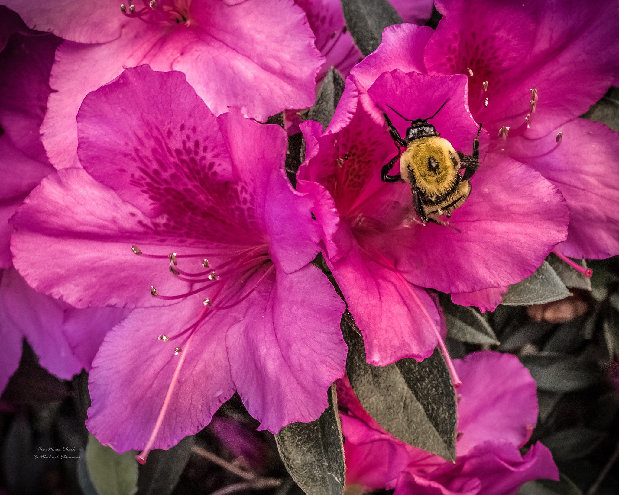 bumble bee by MStrausser of the iMage Shack
