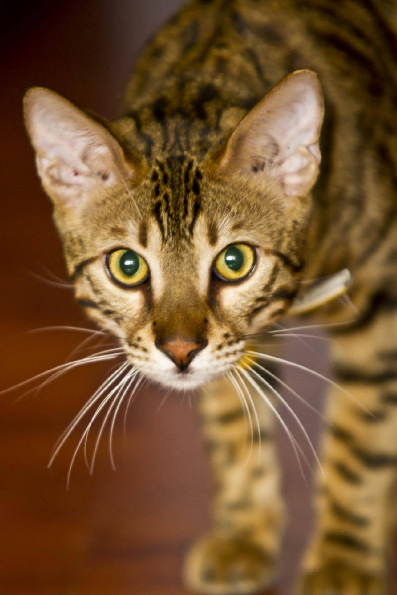 Tiger Cat by JOSE O. CABALLERO HERNANDEZ