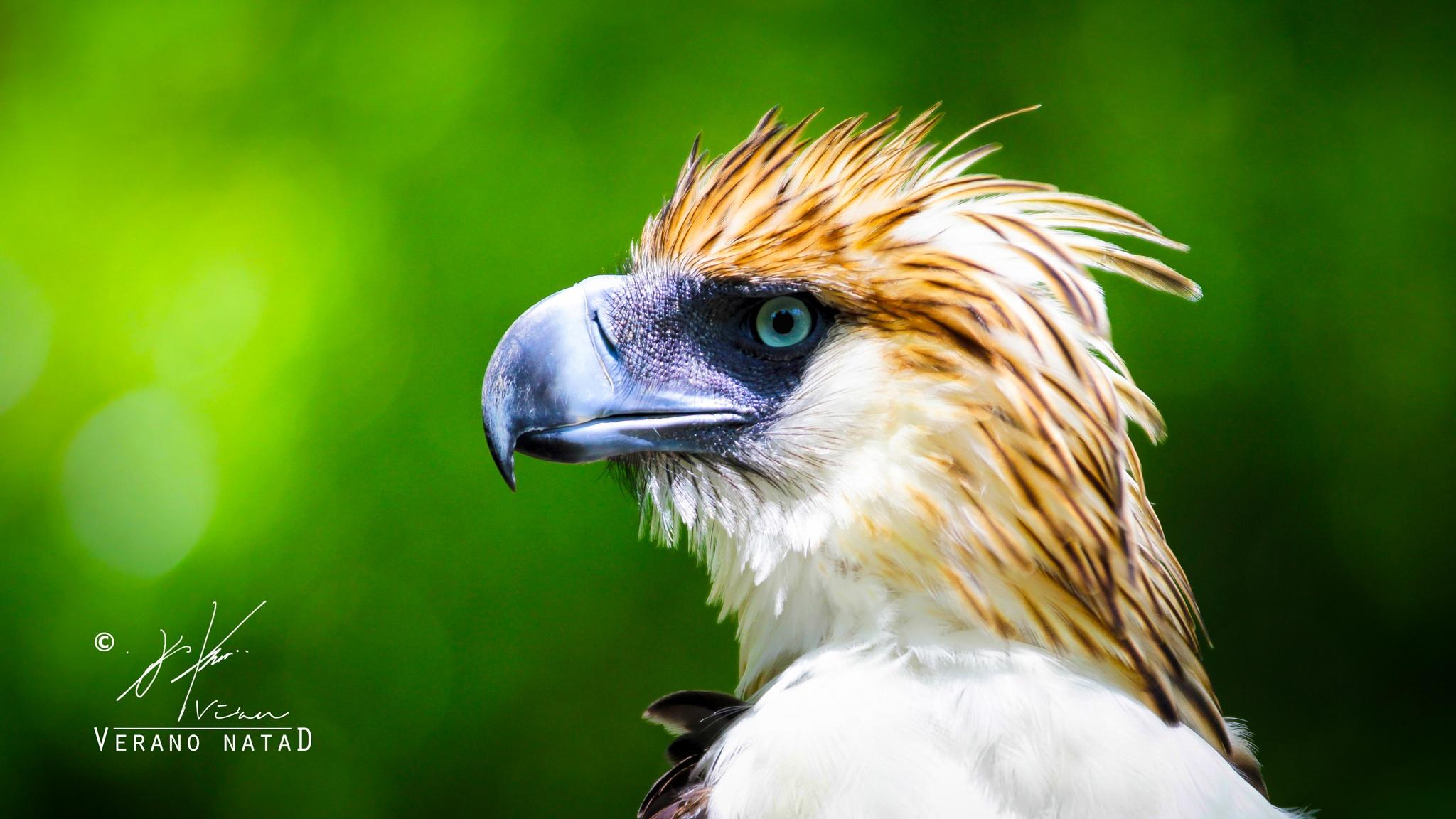 Monkey-eating Eagle by Verano Natad