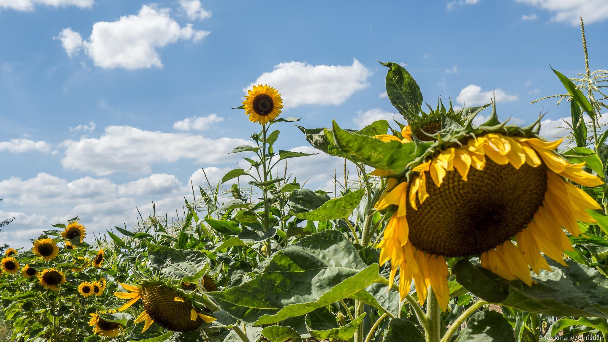 sunflower flied by Christian Kerkmann Photography