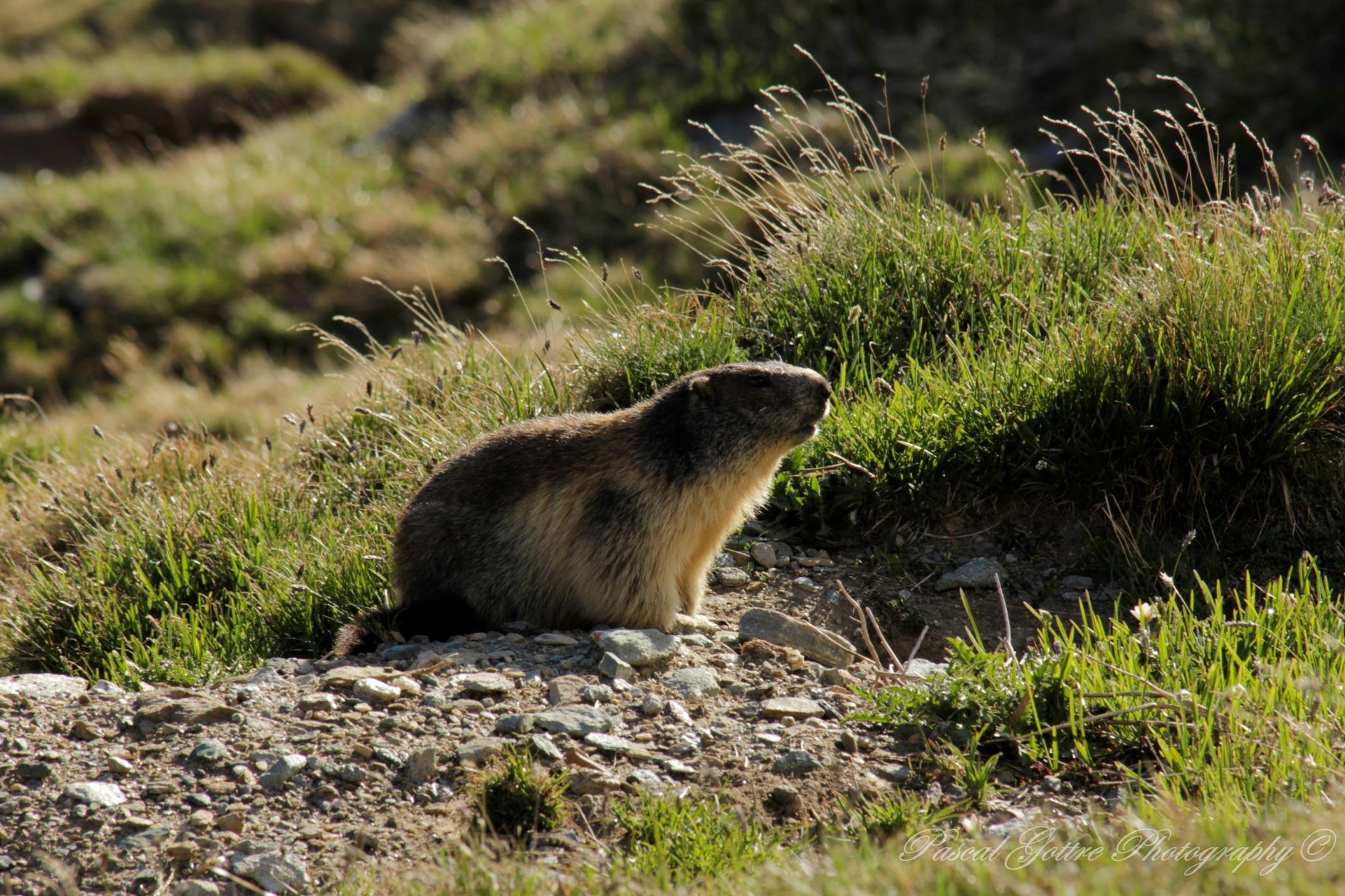 marmot by Pascal Gottre