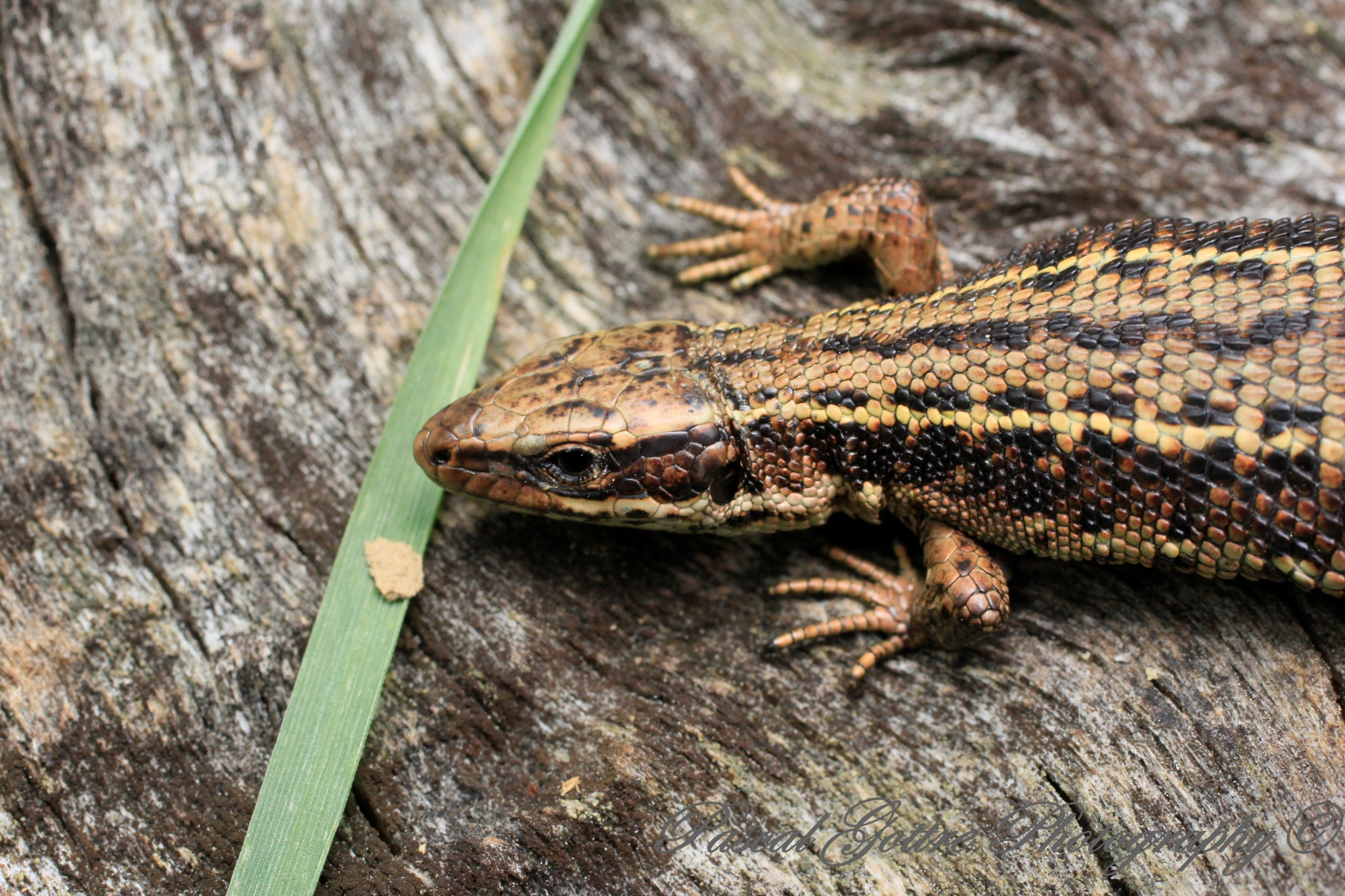lizard by Pascal Gottre