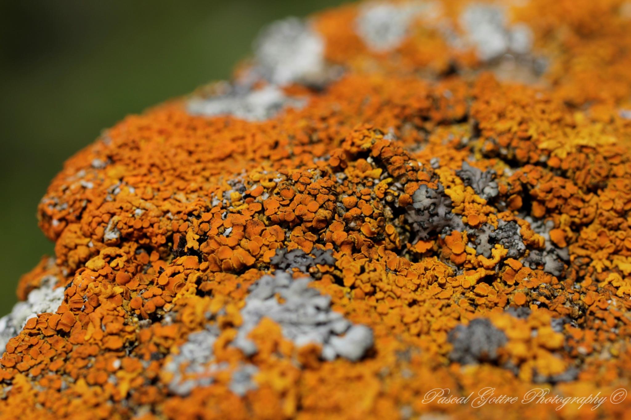 Orange lichen on a rock by Pascal Gottre
