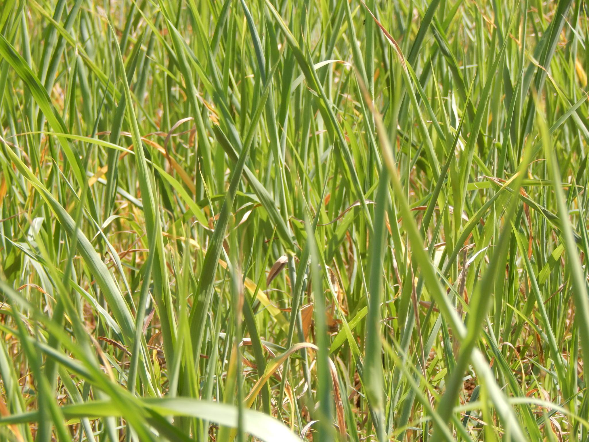 Grass by DineshRaju