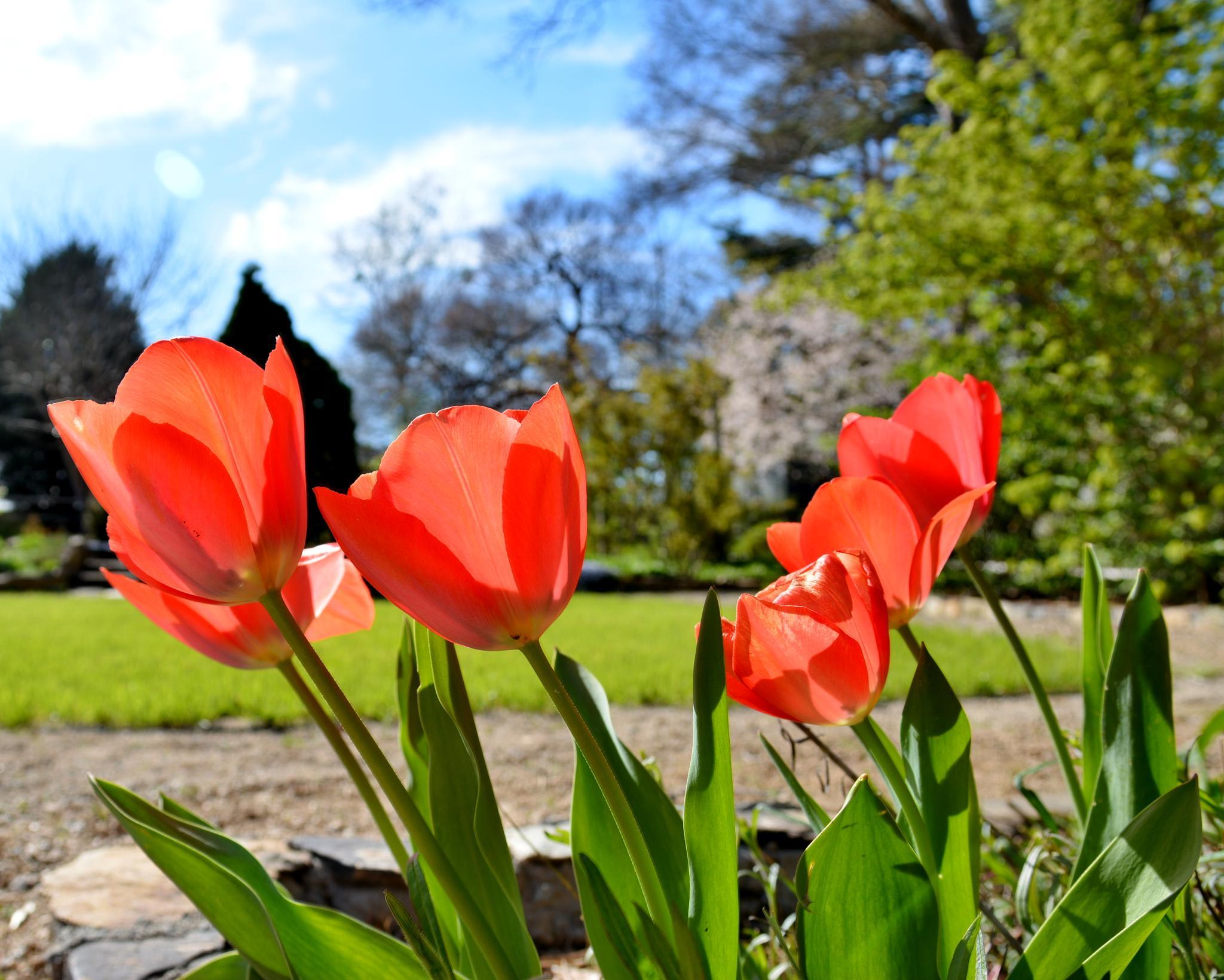 Tulip Garden by Cherie Steele
