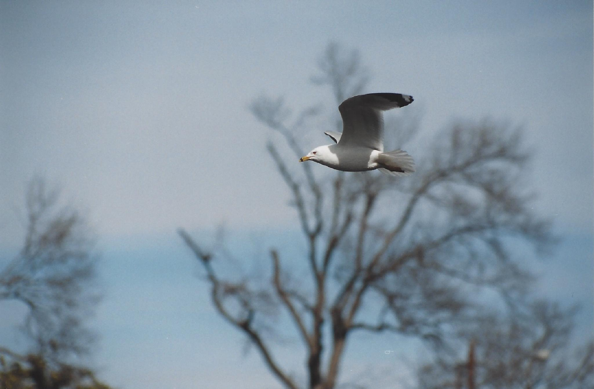 Gull in Flight by Scott F. Brooks
