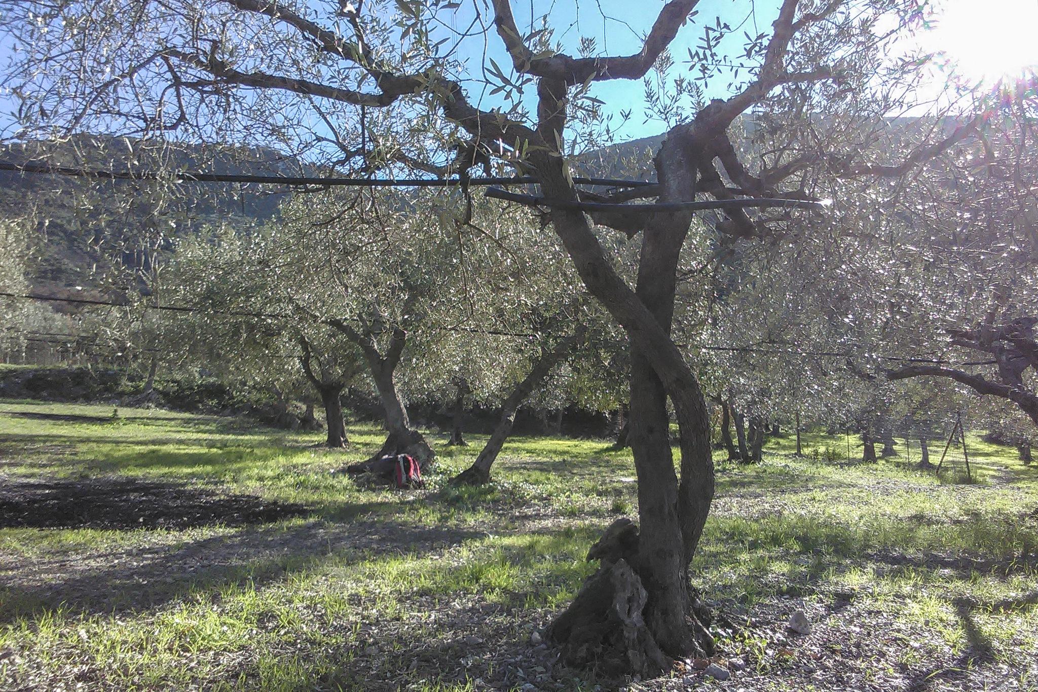L'uliveto by Salvatore Bertolino