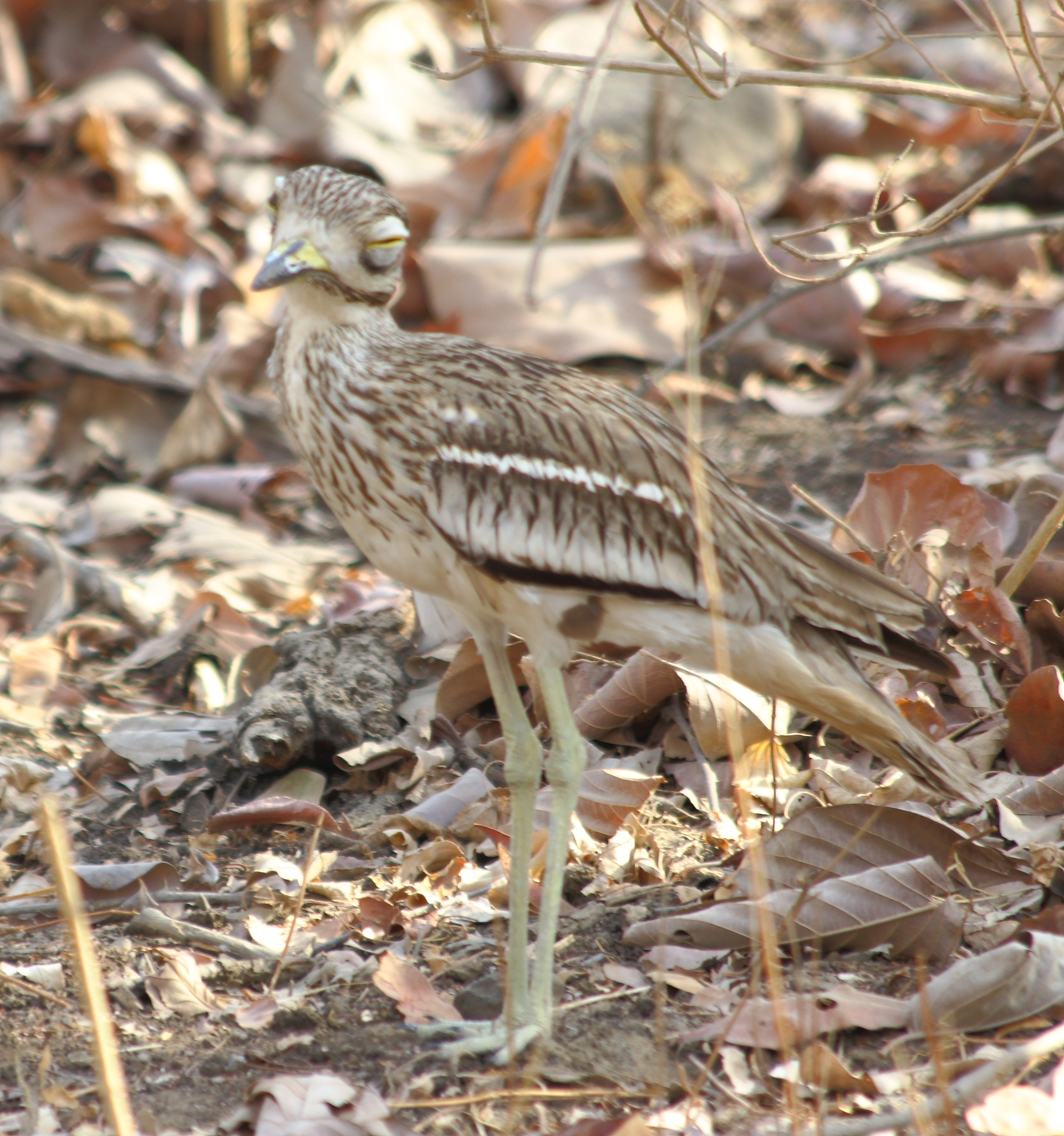 The Indian stone-curlew or Indian thick-knee by pulkit.satwara